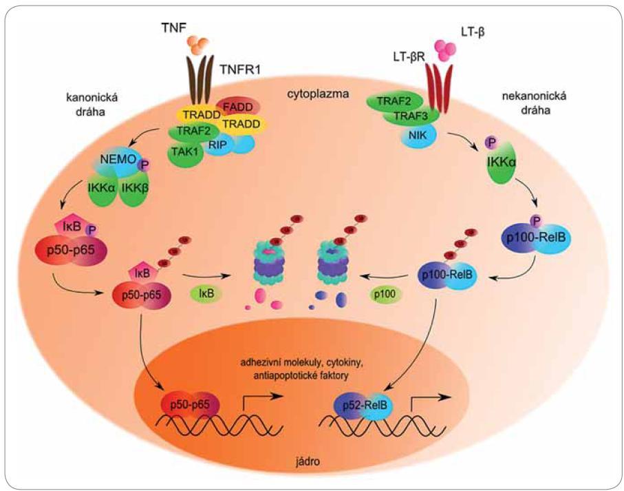Role proteazomu v kanonické a nekanonické cestě aktivace transkripčního faktoru NFκB.