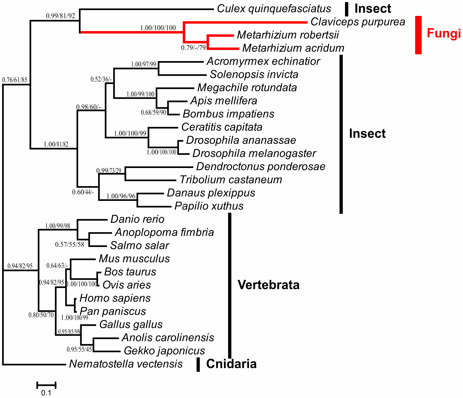 Phylogenetic analysis of fungal NPC2a proteins and their homologs.