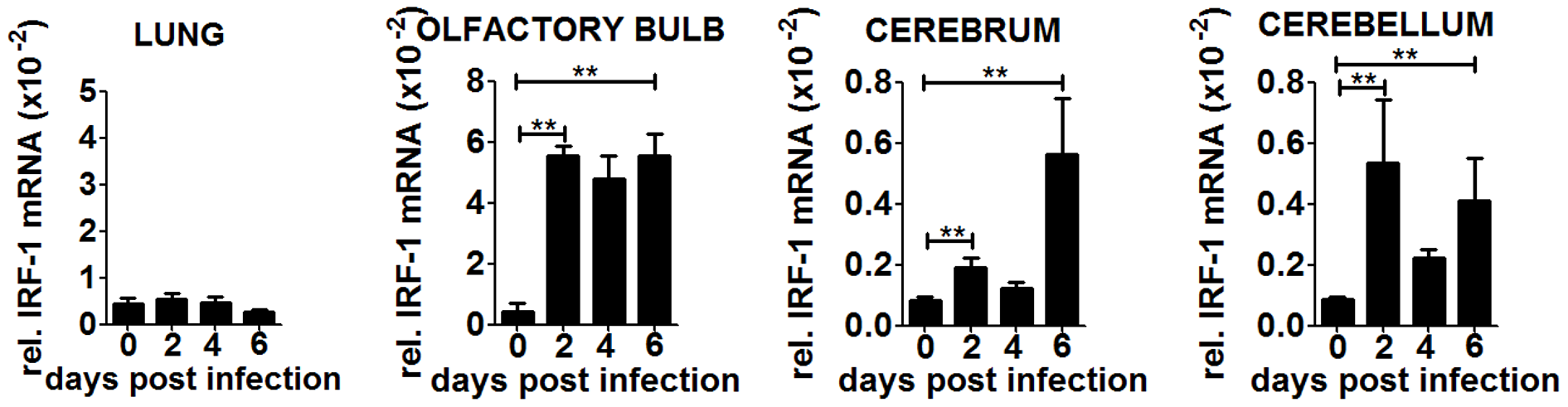 IRF-1 is induced at later states during VSV infection in the brain.