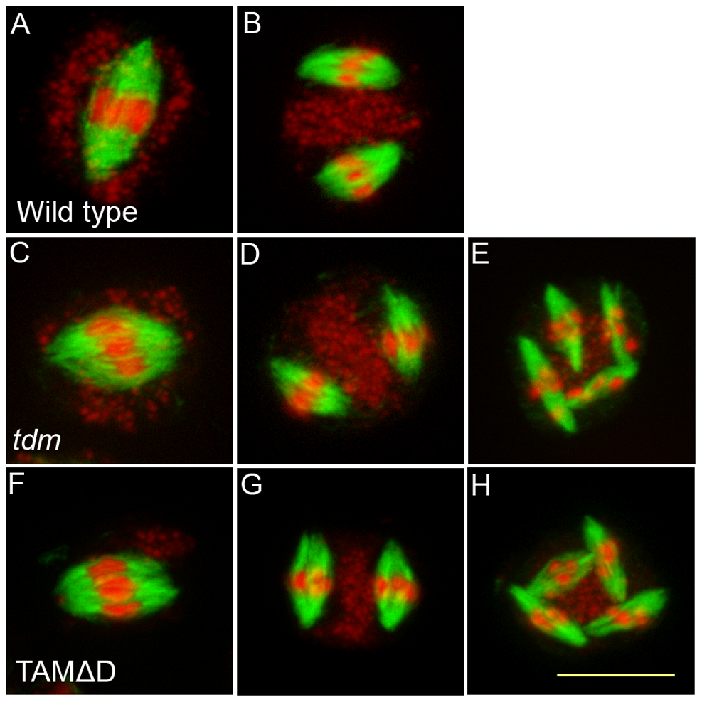 Four spindles form at meiosis III in TAMΔD plants.
