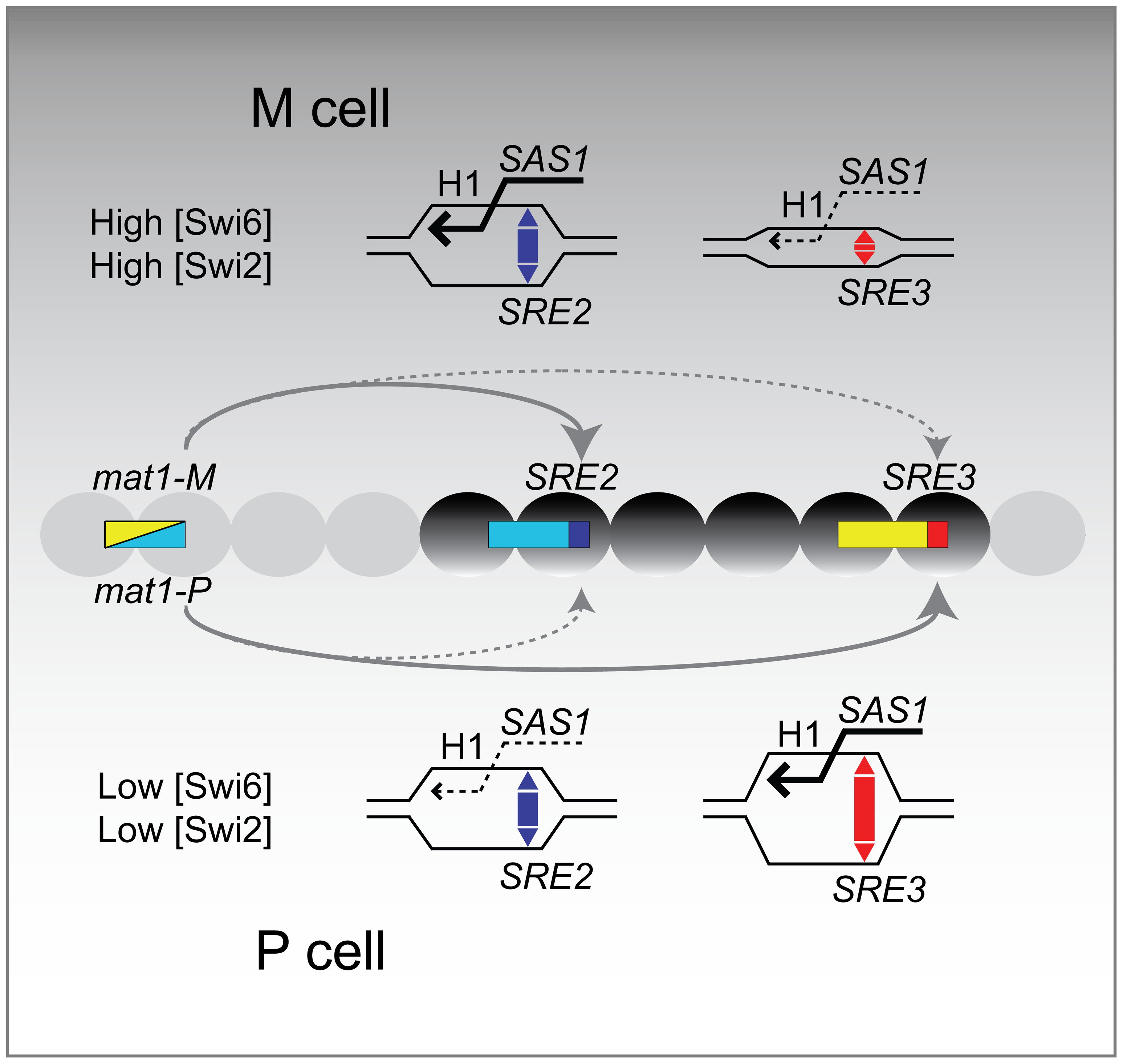 Model for the directionality of mating-type switching.