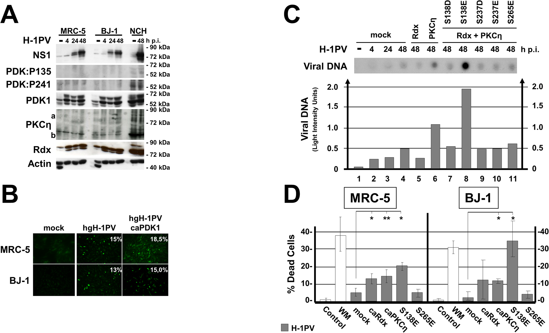 Impact of activated PDK1 on cell permissiveness for PV infection.