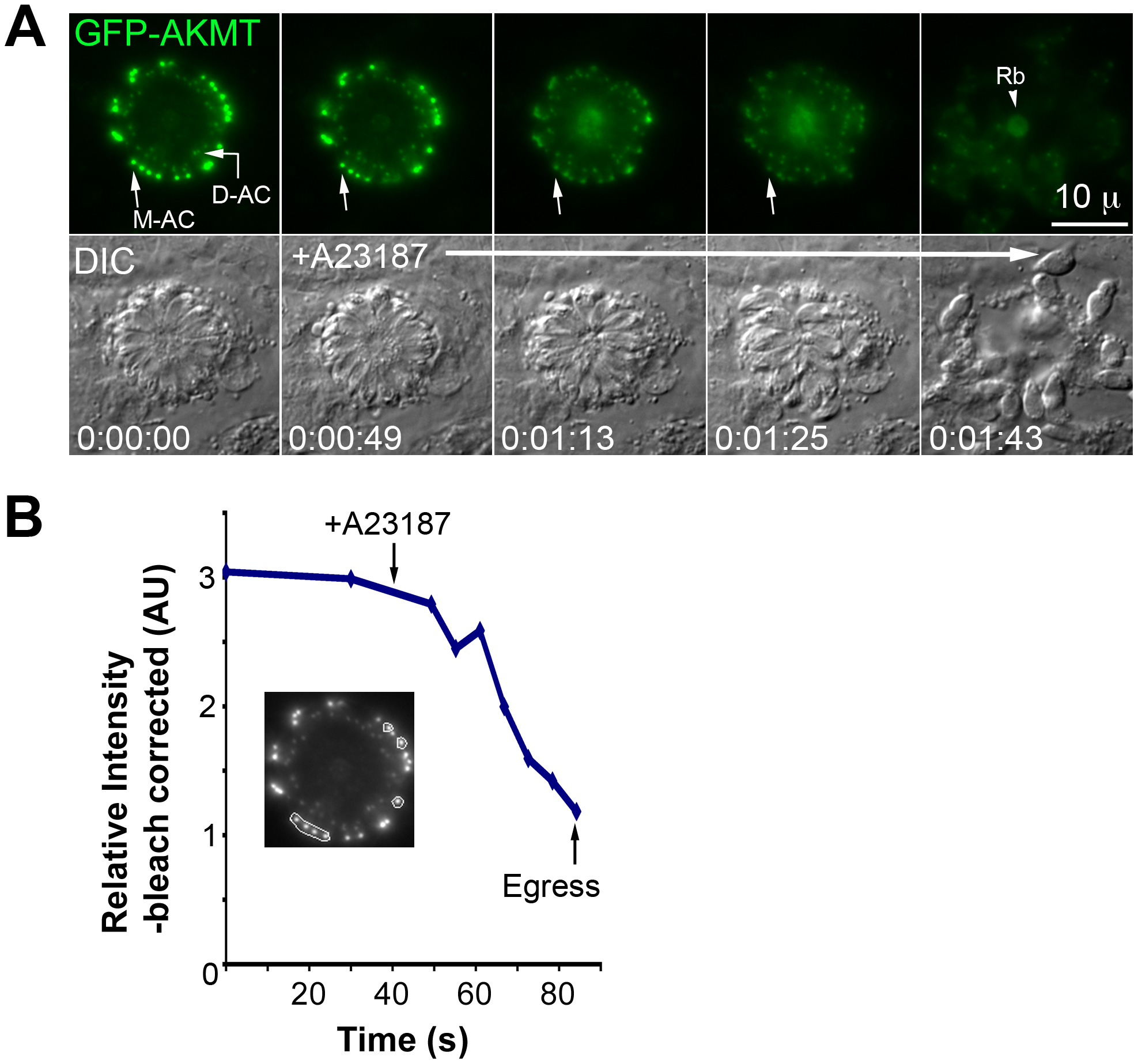 Elevated [Ca<sup>2+</sup>] triggers the dispersal of AKMT from the apical complex before A23187 induced parasite egress.