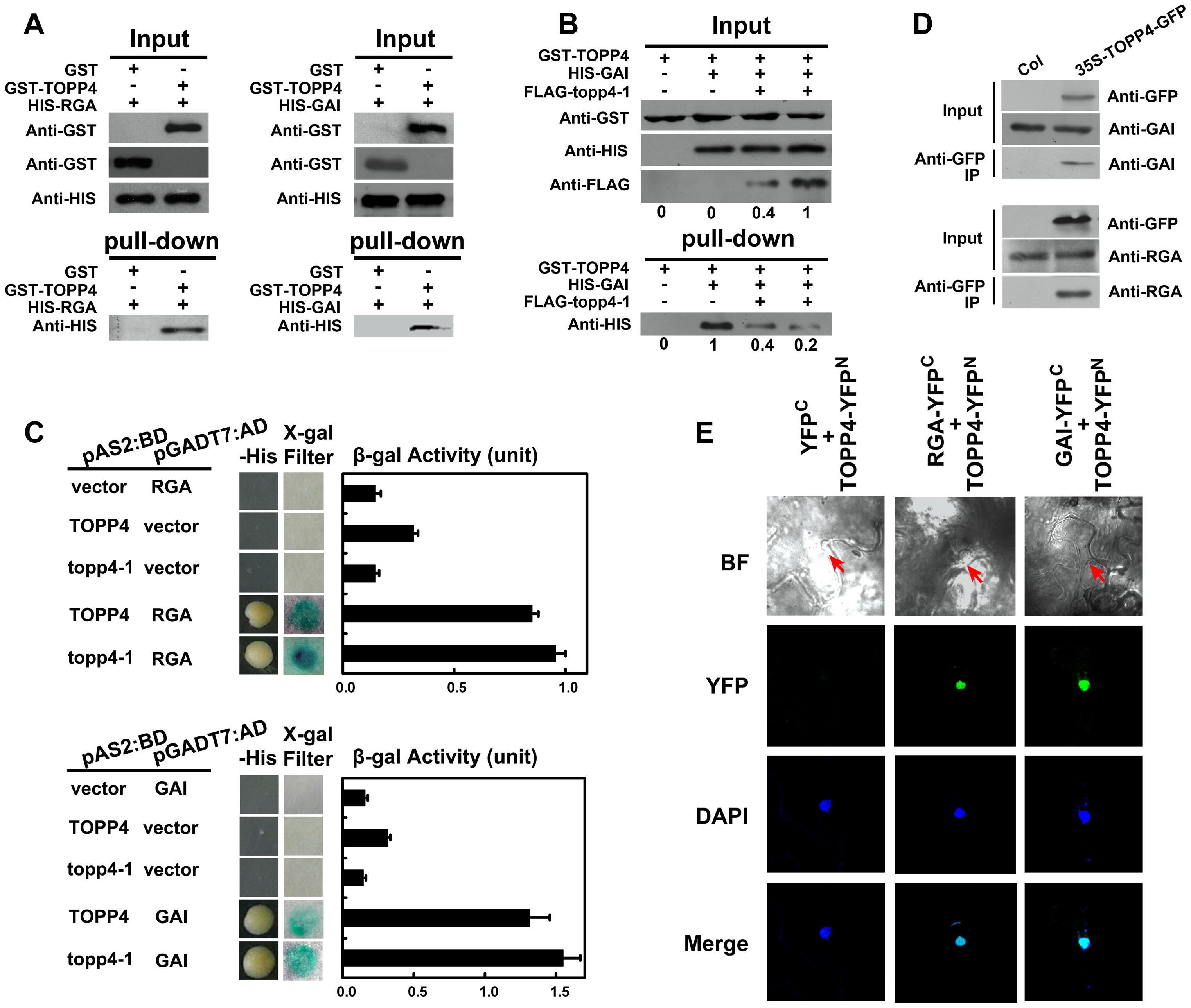 TOPP4 can interact with RGA and GAI both <i>in vitro</i> and <i>in vivo</i>.