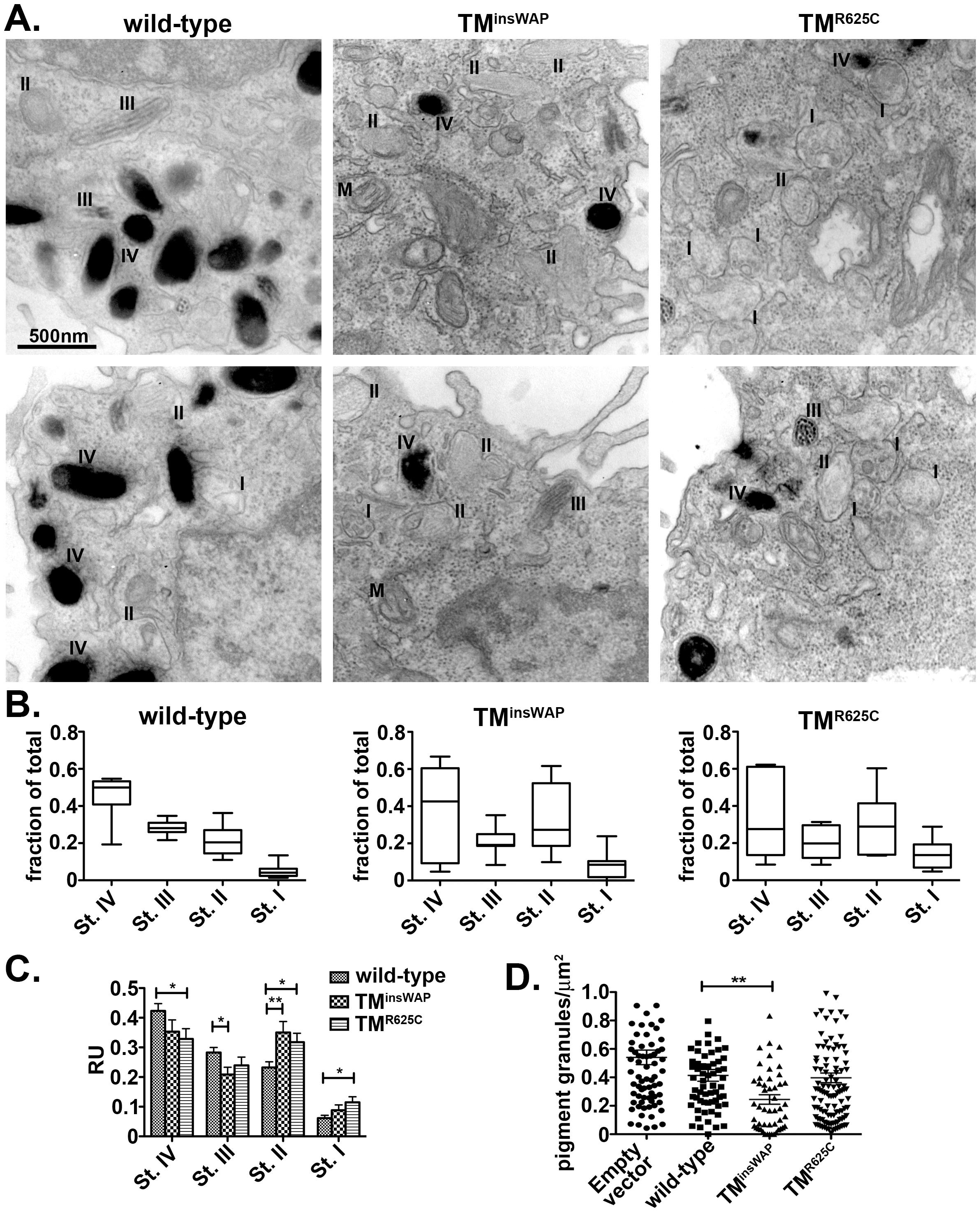Reduced melanosome pigmentation in melanocytes expressing PMEL TMD mutants.