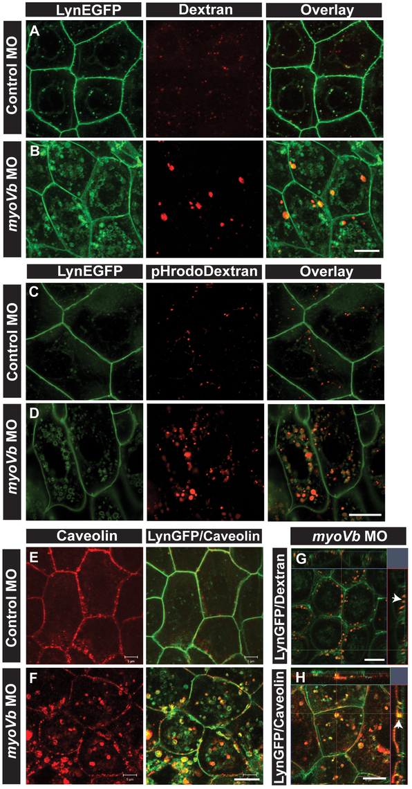 Endocytosis from apical and basolateral domain contributes to endosome and lysosome formation.
