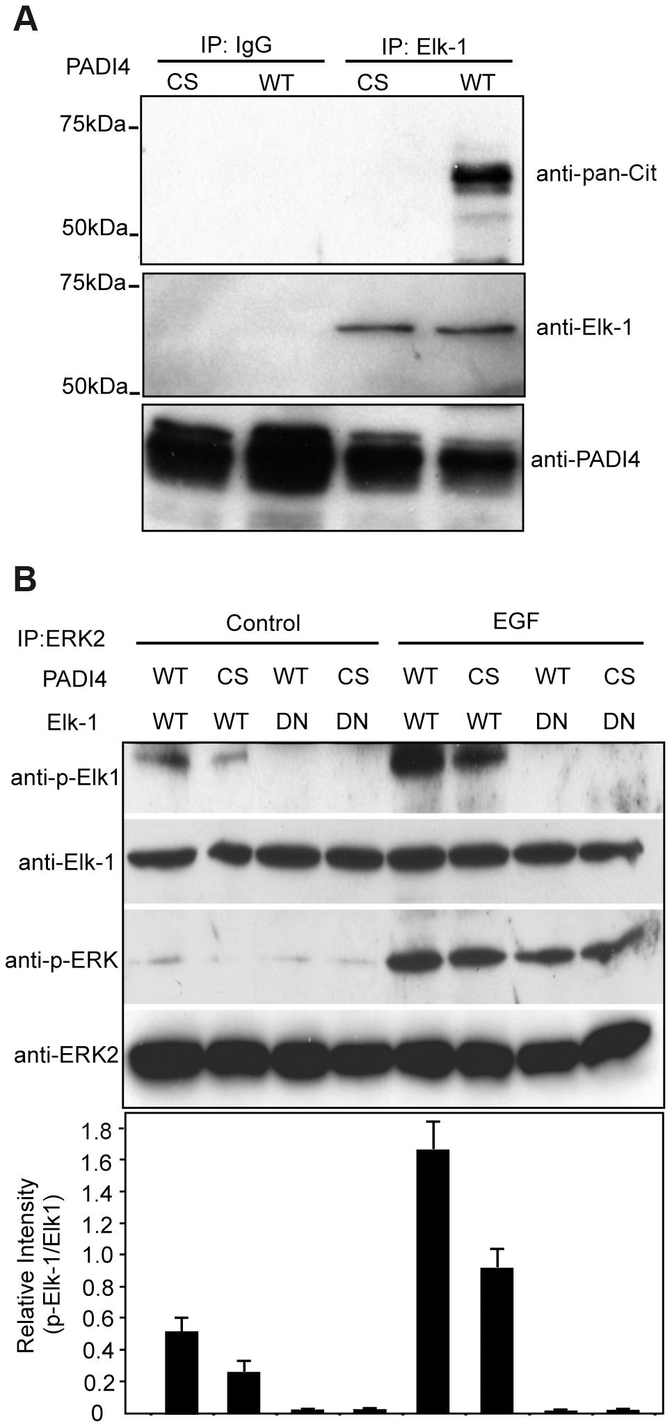 Citrulliantion of Elk-1 by PADI4 potentiates Elk-1 phosphorylation.
