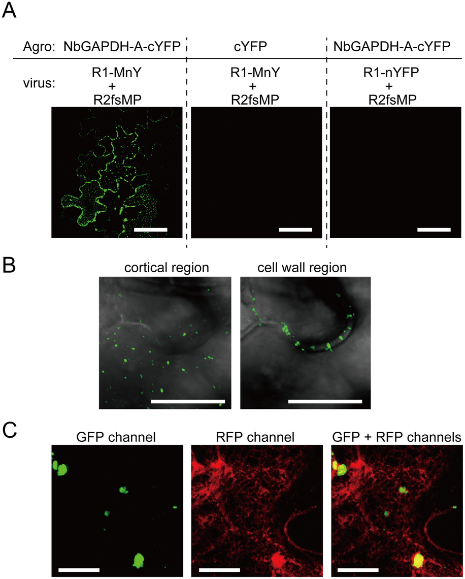 Bimolecular fluorescence complementation analyses of the interaction between RCNMV MP and NbGAPDH-A.
