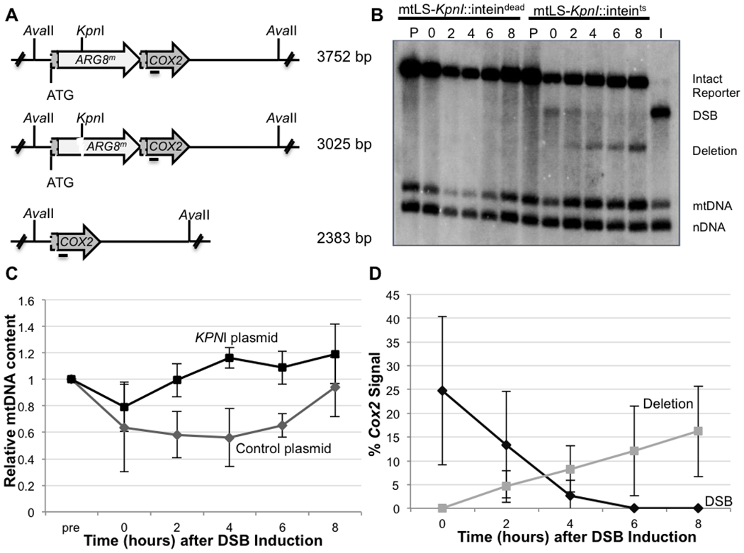 Inducing a specific mitochondrial DSB.