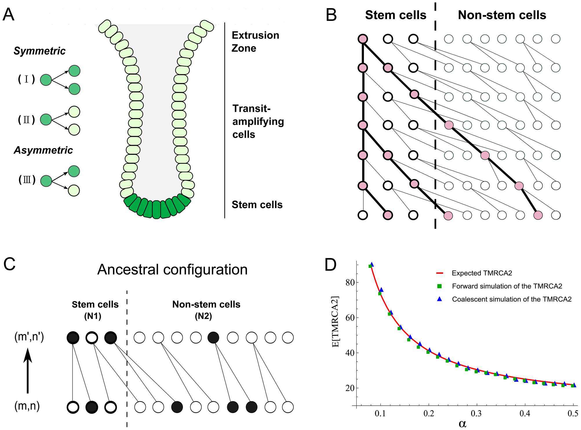 Anatomy of intestinal crypts and coalescent processes for the two-deme model.