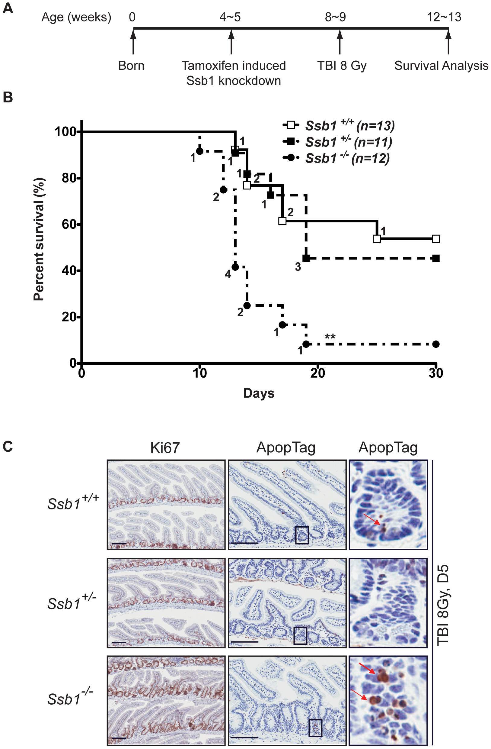 Conditional <i>Ssb1</i>-deleted mice are sensitive to IR.