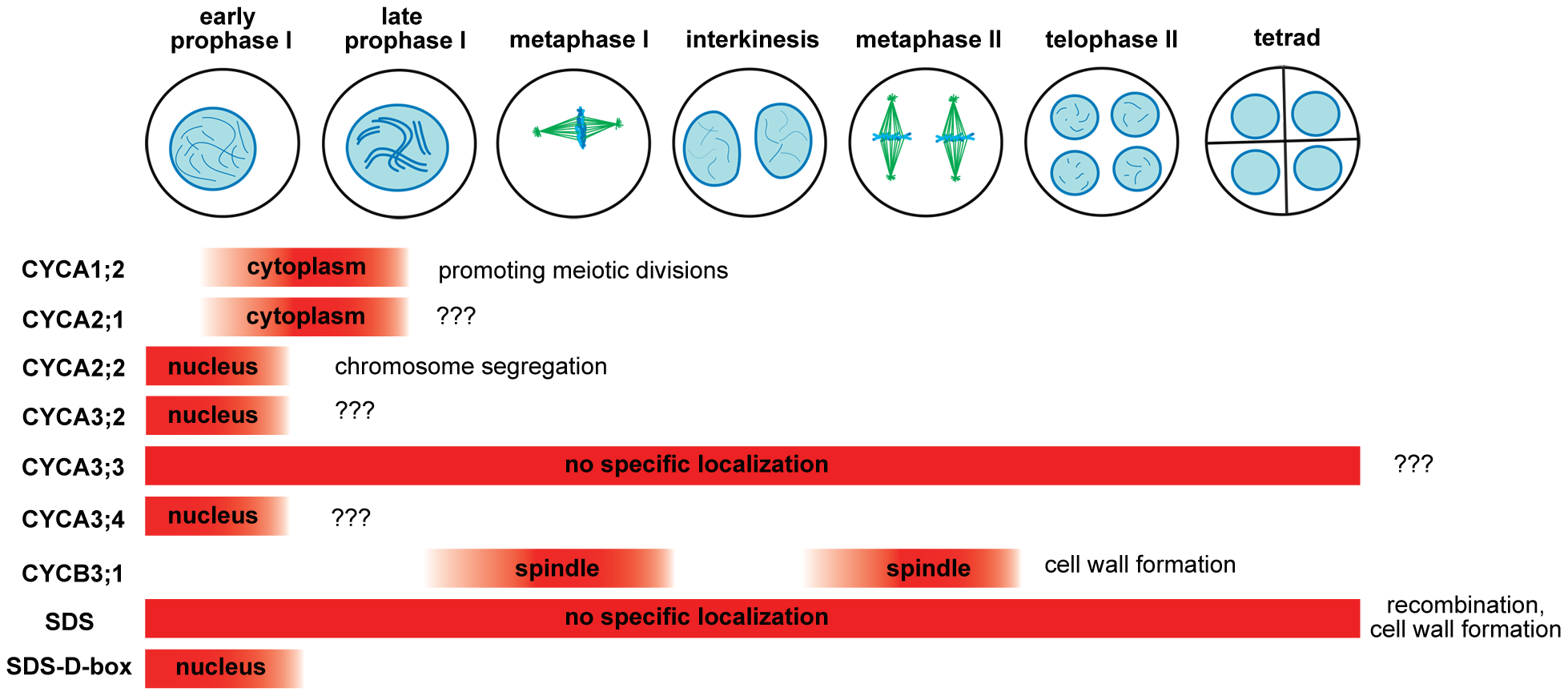 Overview of <i>Arabidopsis</i> meiotic cyclins.