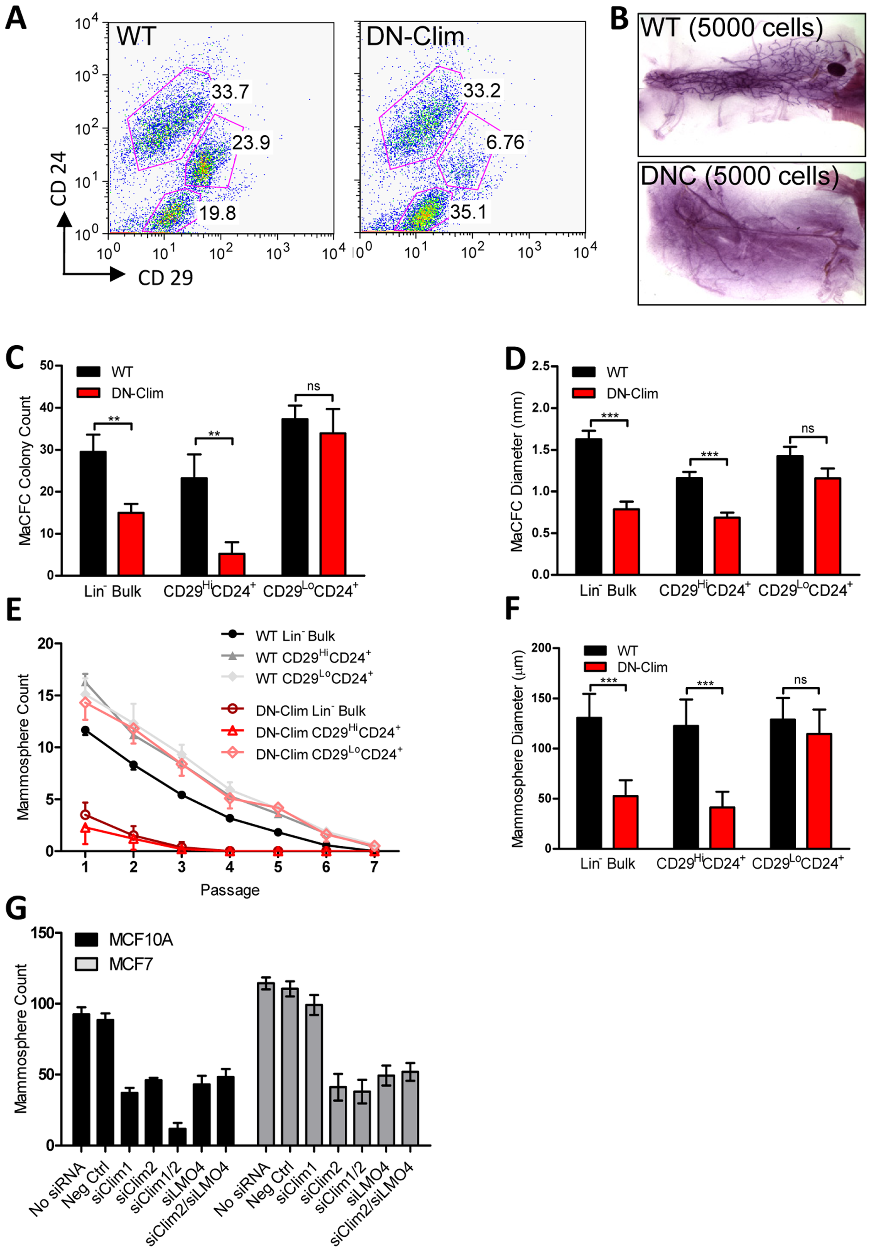 Clims maintain basal mammary epithelial stem cells.