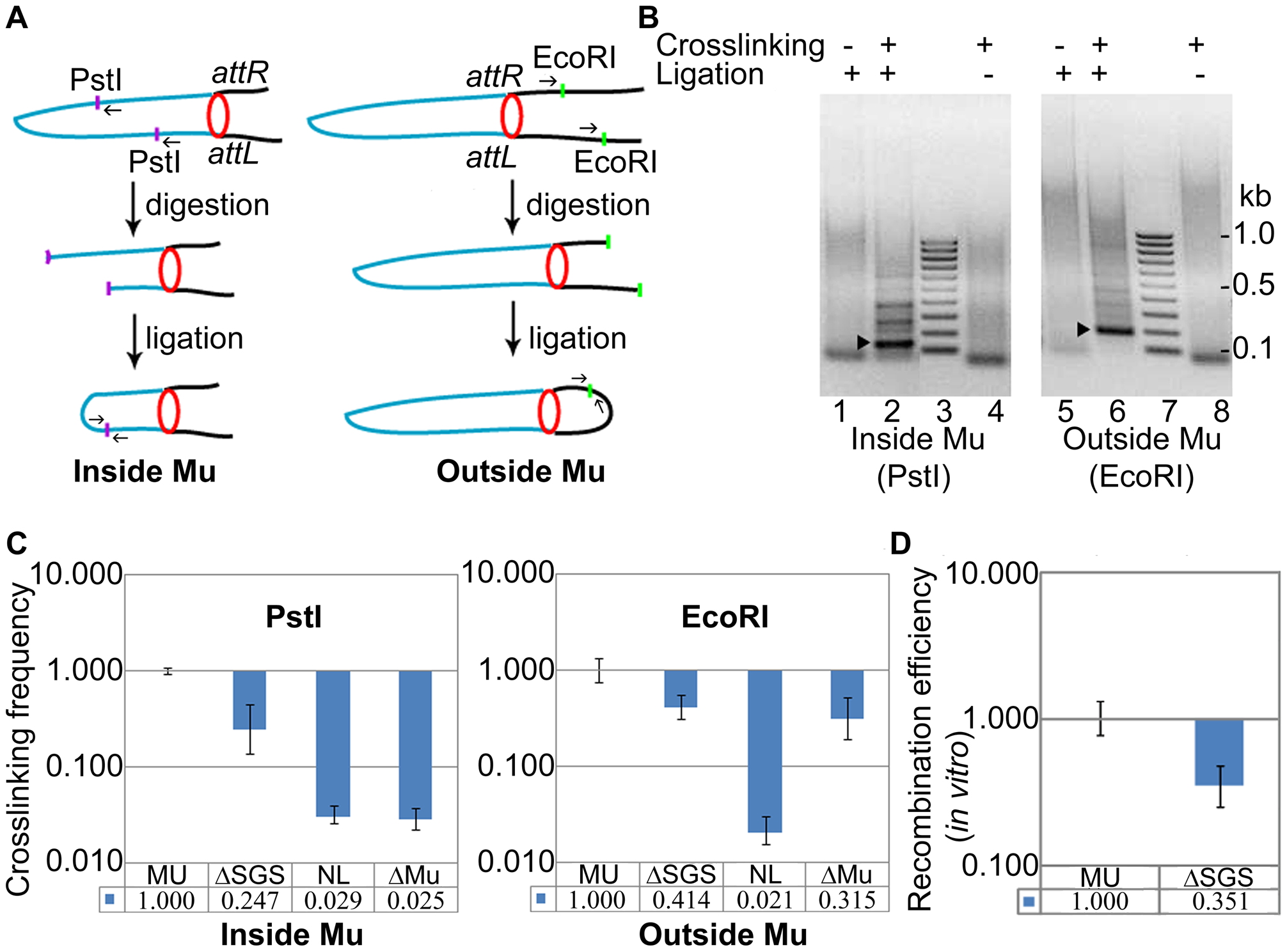 Interaction of prophage Mu ends probed by 3C methodology.