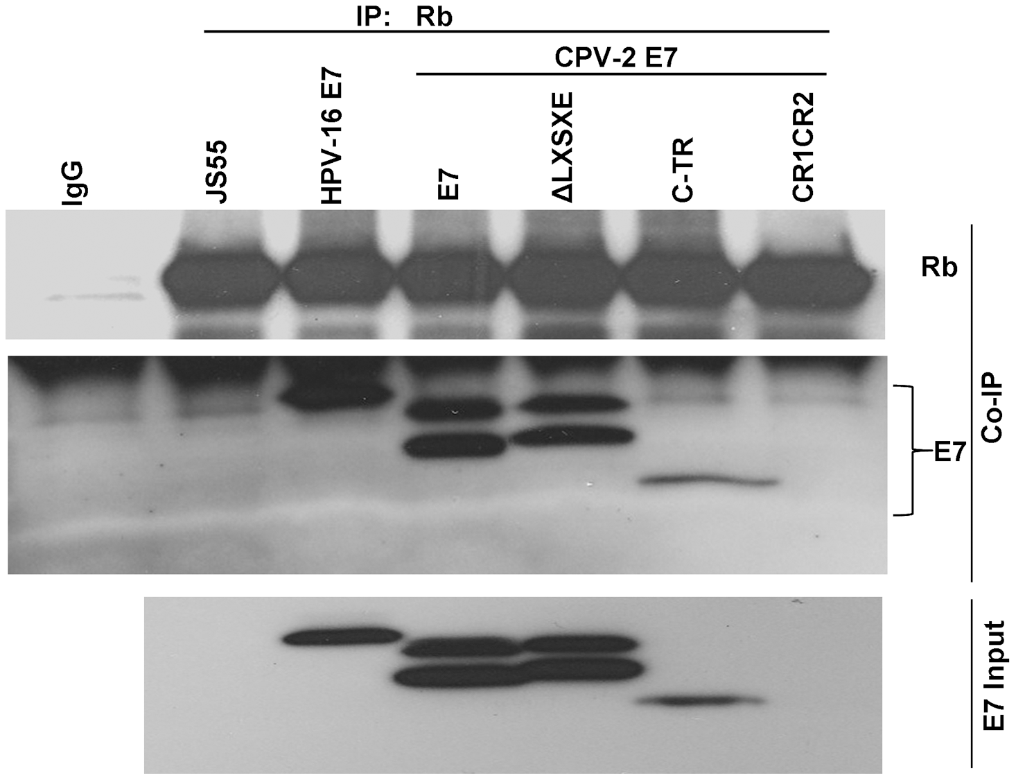 The carboxyl-terminus of canine E7 protein also mediates in vivo binding to pRb.
