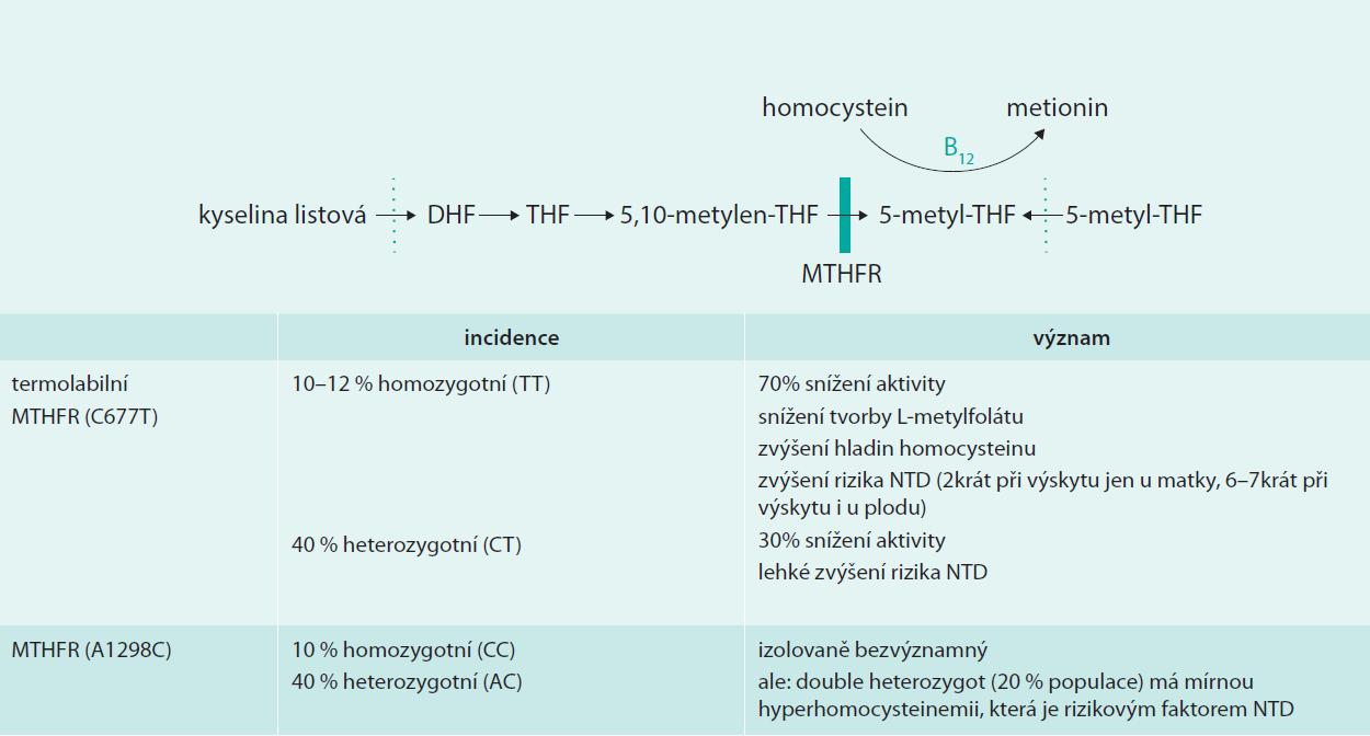 Význam variant mutací MTHFR pro metabolizmus kyseliny listové