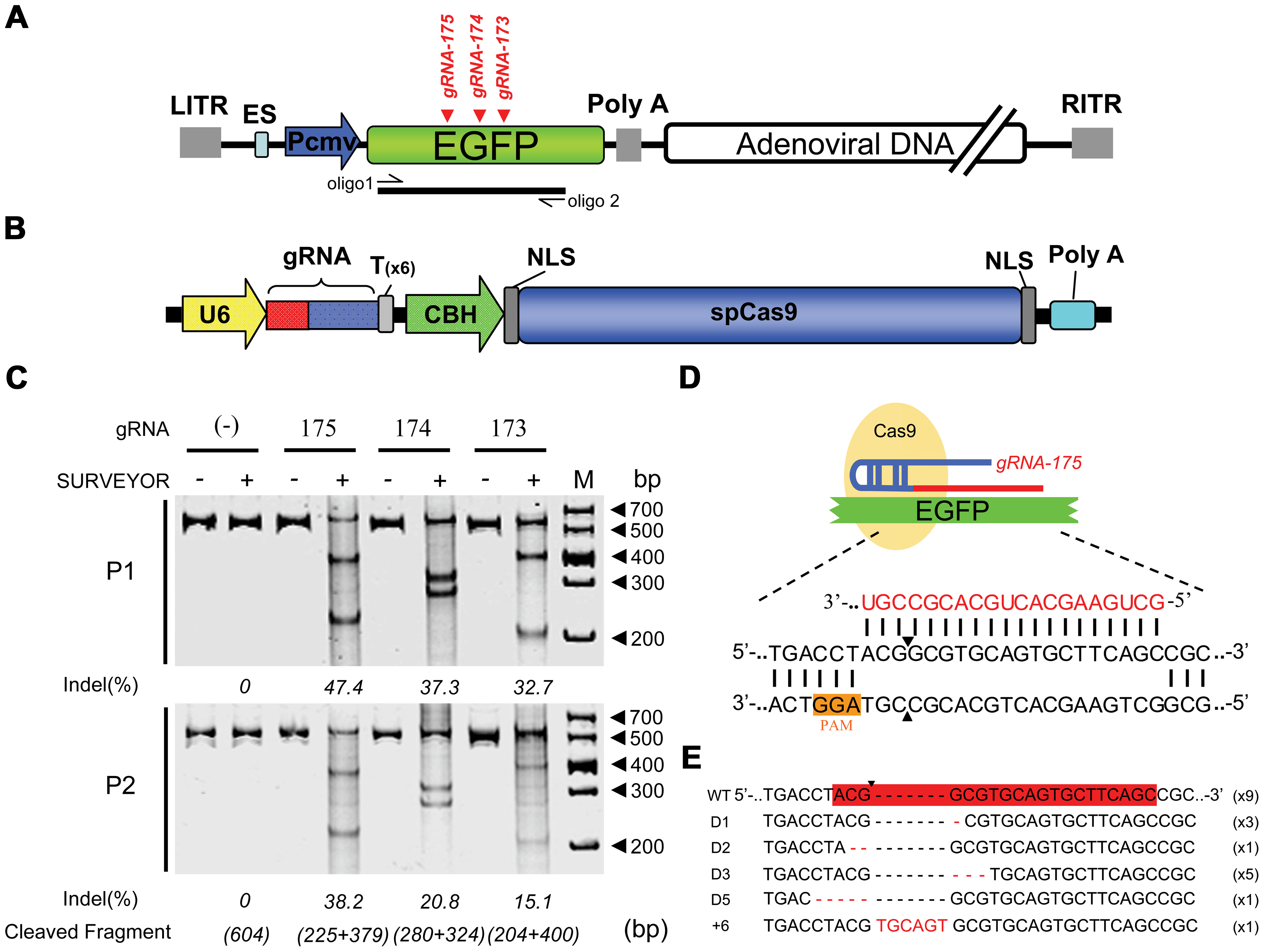 Cas9-mediated inheritable indels at specific sites in recombinant adenoviral genomes.
