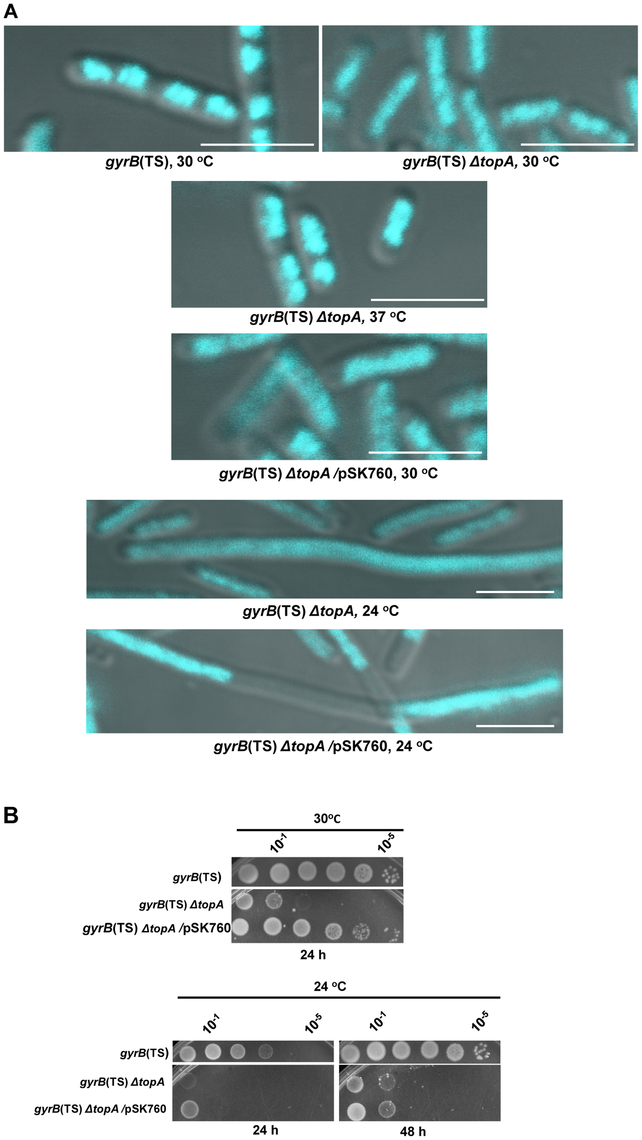 Growth and chromosome segregation defects in the <i>gyrB</i>(Ts) <i>ΔtopA</i> strain.
