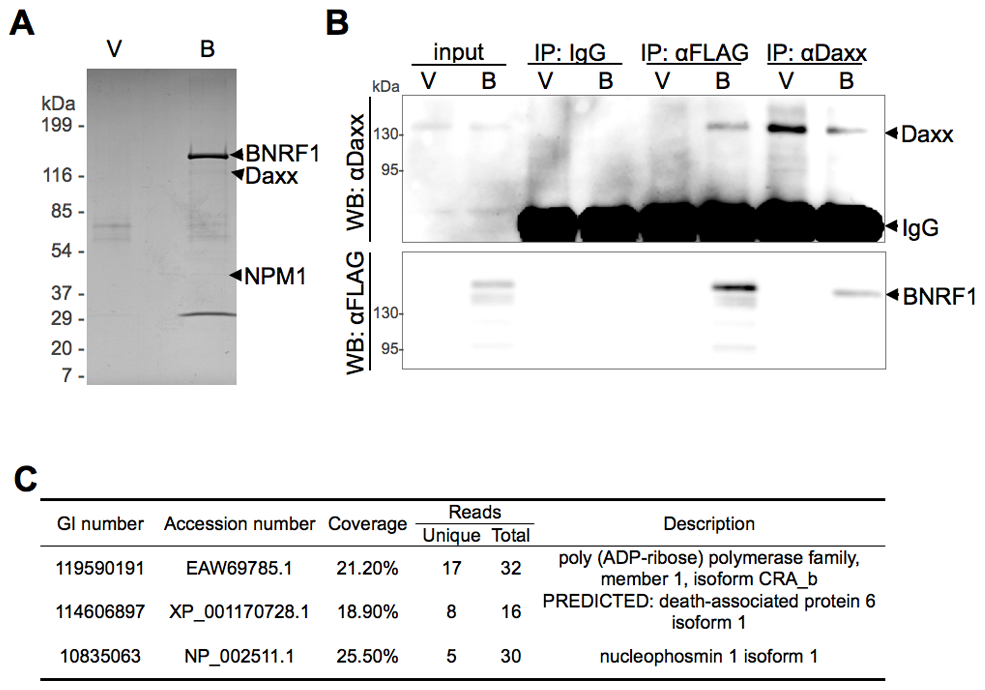 BNRF1 binds the cellular protein Daxx.