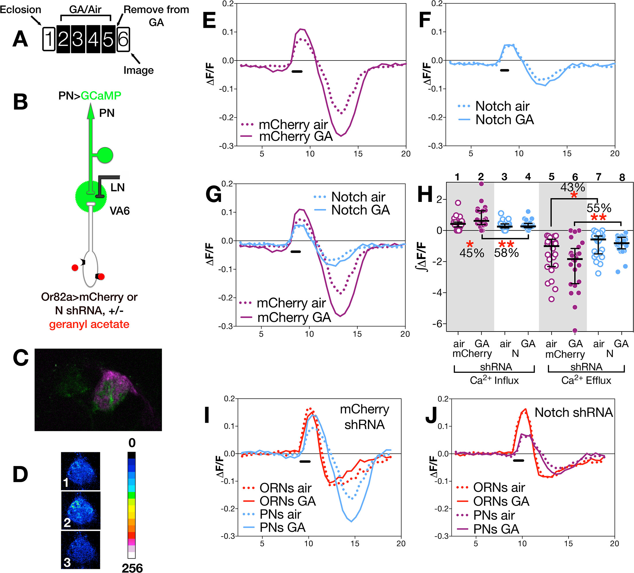 N in ORNs is required for PN neuronal plasticity.
