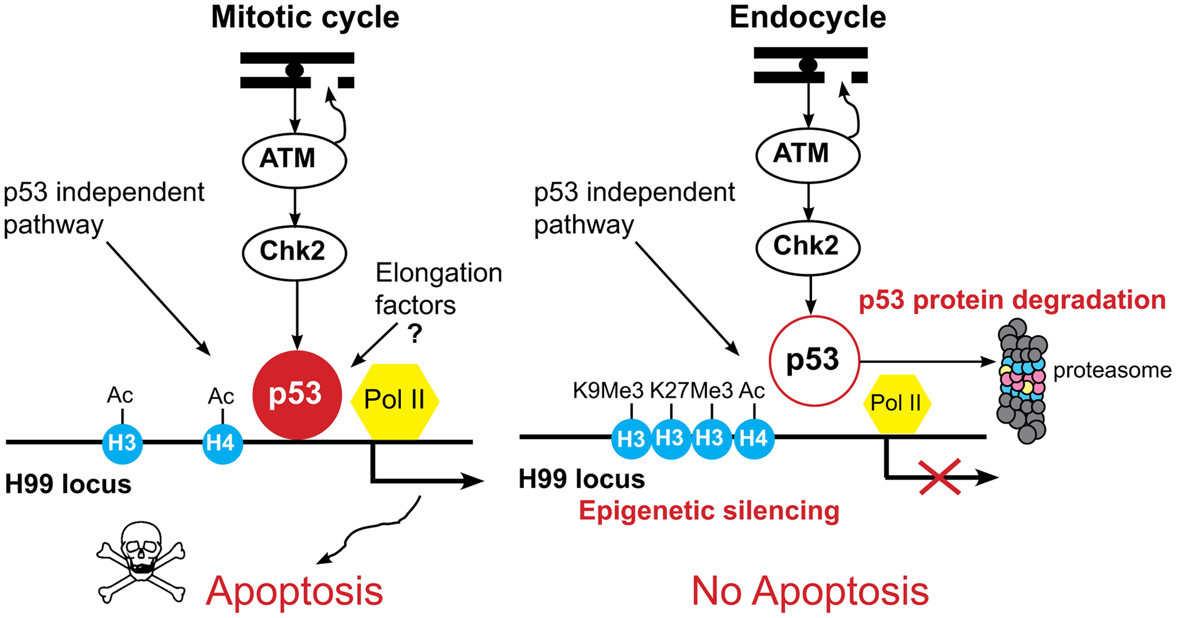 Model for tissue-specific apoptotic responses in <i>Drosophila</i>.