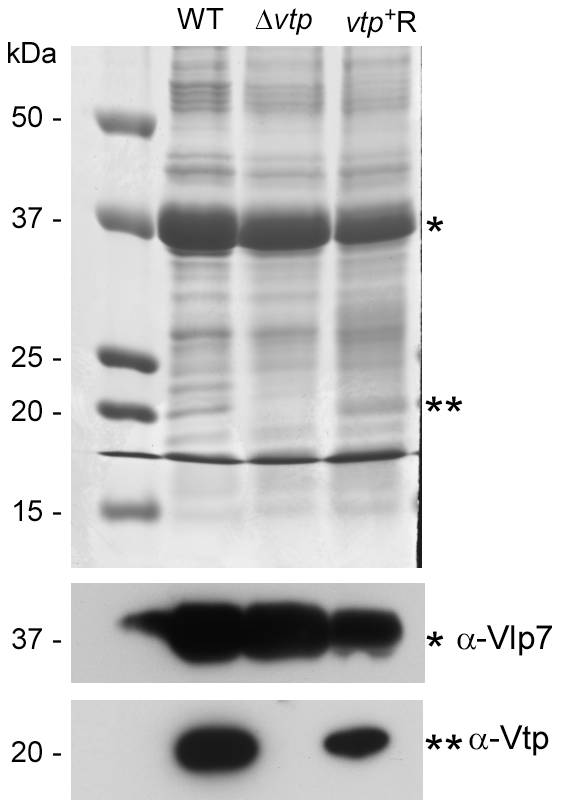 The Δ<i>vtp</i> mutant <i>B. hermsii</i> does not produce the variable tick protein.