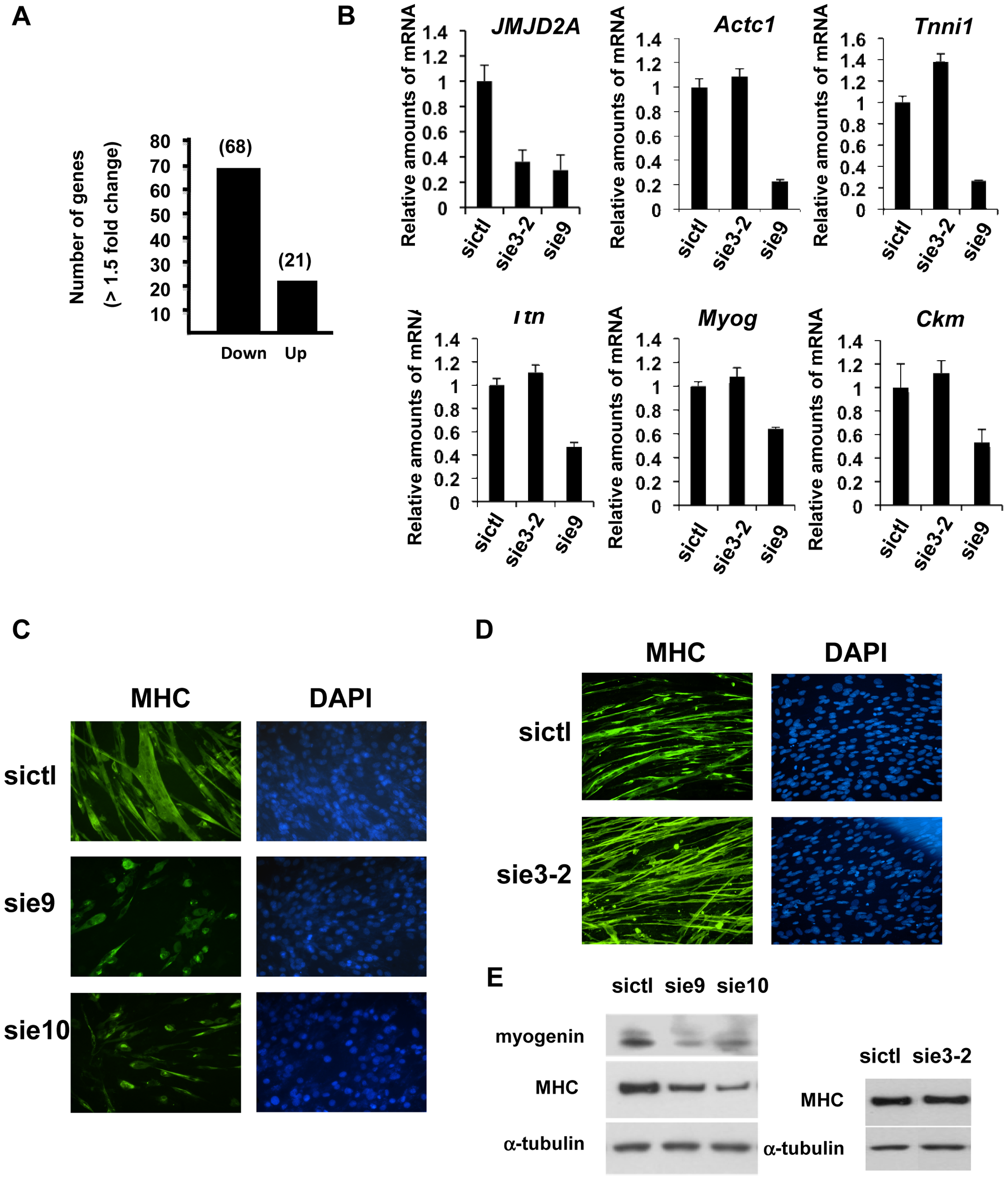 ΔN-JMJD2A is important for muscle differentiation and myotube formation.