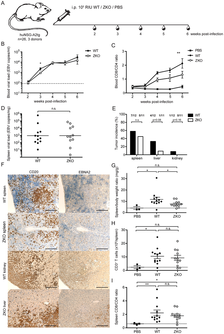 Lytic replication transiently influences viremia and may account to extra-lymphoid tumorigenesis in humanized mice.