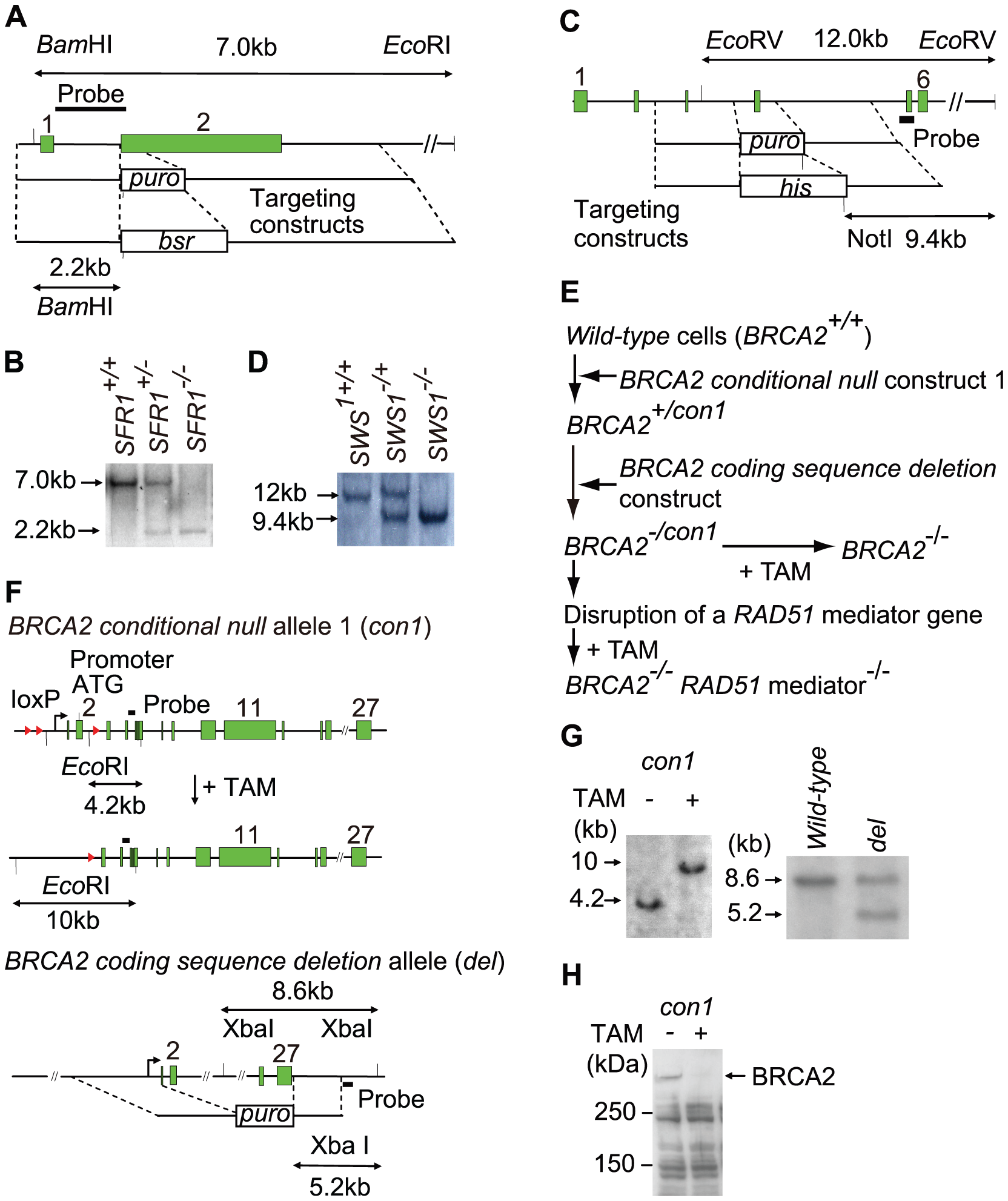 Gene disruption of the <i>SFR1</i>, <i>SWS1</i>, and <i>BRCA2</i> loci.