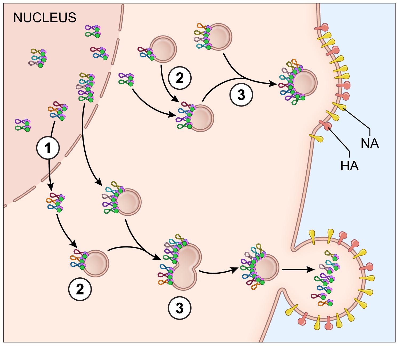 Proposed model for vRNA assembly.