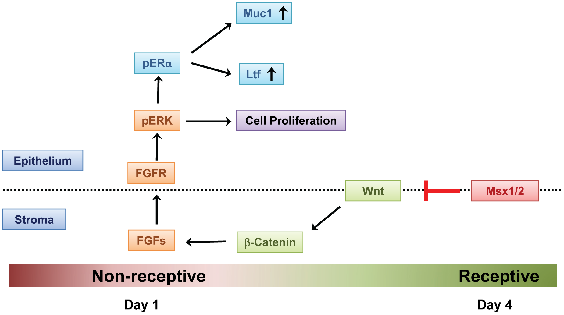 Mechanism of Msx1 and Msx2 action in mouse uterus.