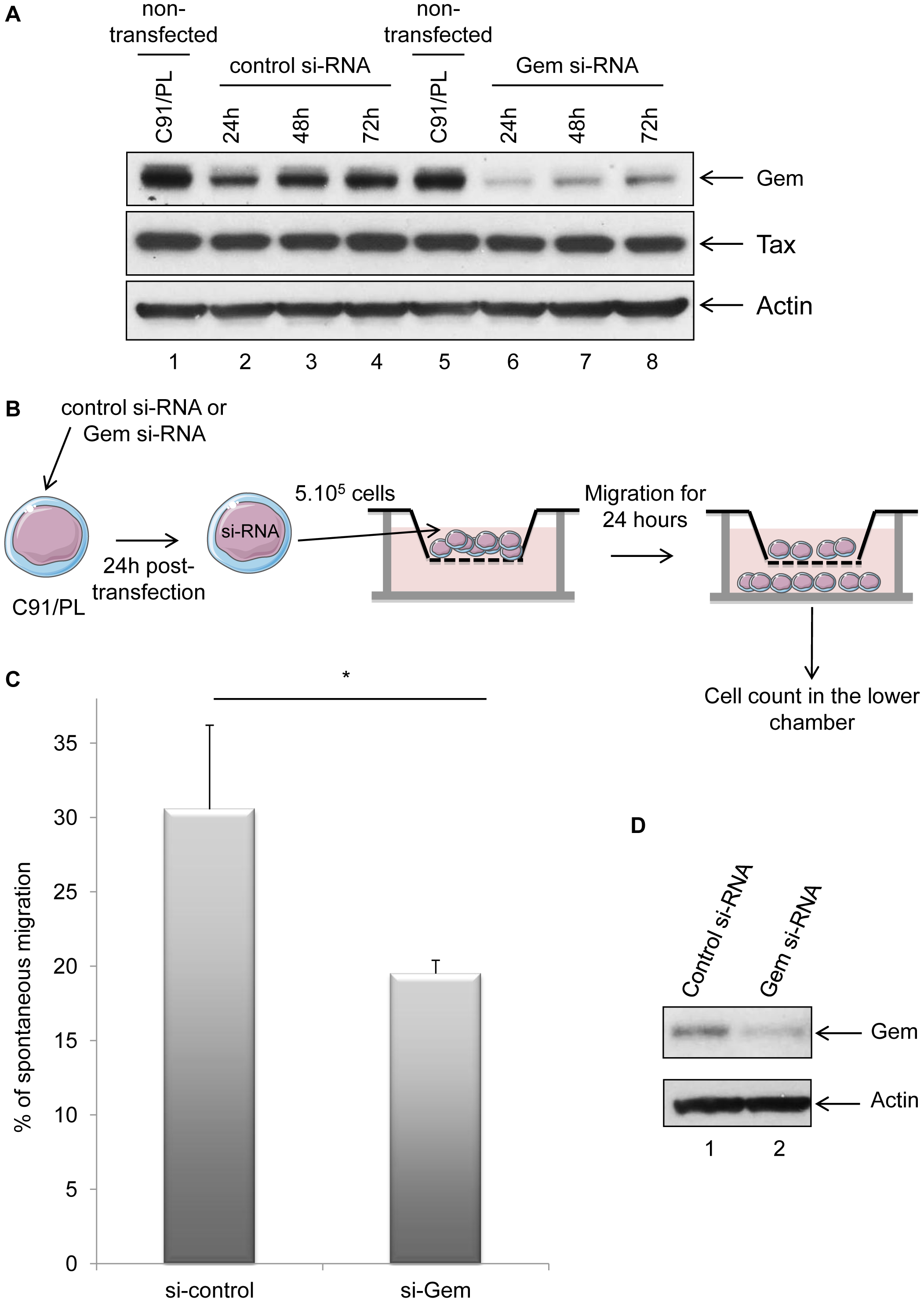 Gem is involved in HTLV-1-infected cell migration.
