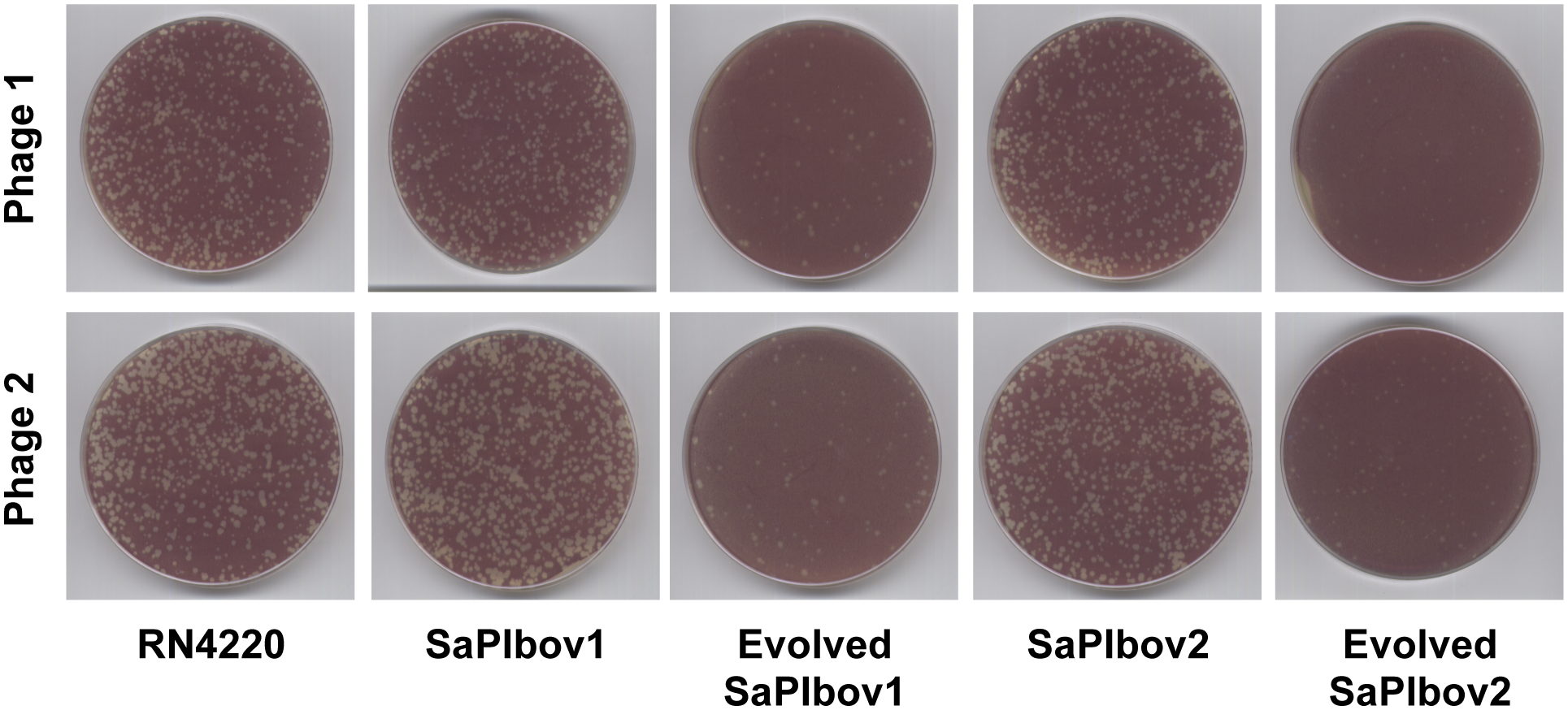 SaPI-driven phage evolution occurs <i>in vivo</i>.