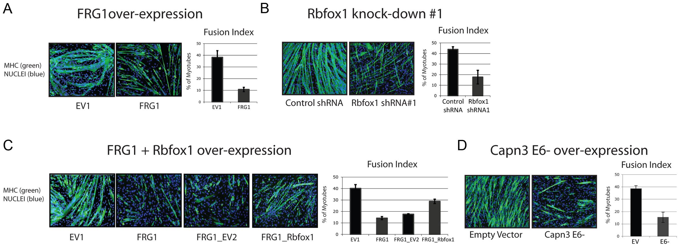 Altered <i>Calpain 3</i> splicing inhibits myogenesis.