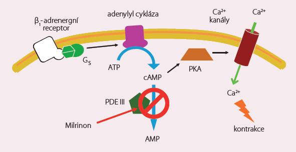 Milrinon – mechanizmus účinku.