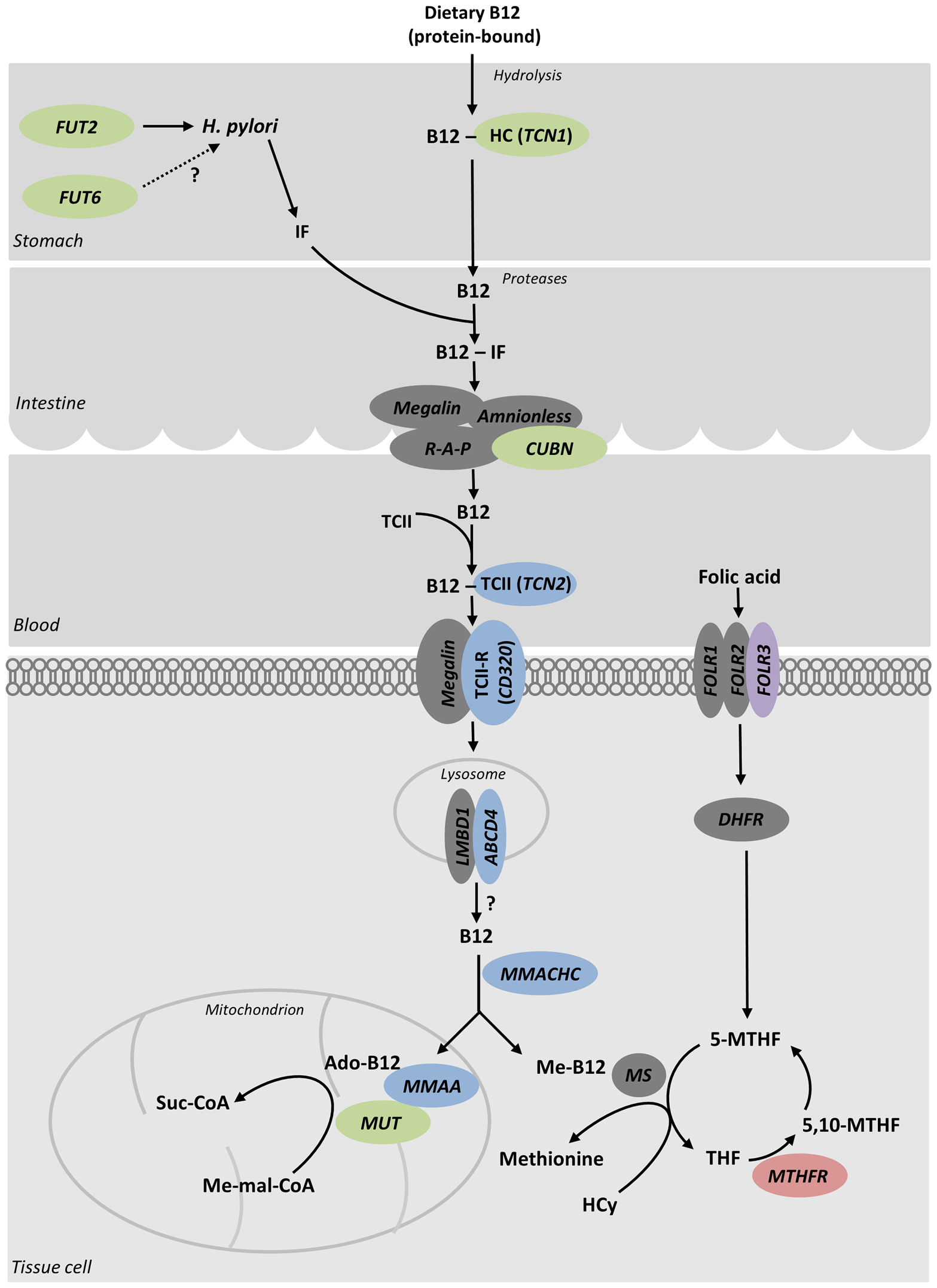 Genes that associate with serum B<sub>12</sub> and folate levels are in pathways affecting their metabolism.