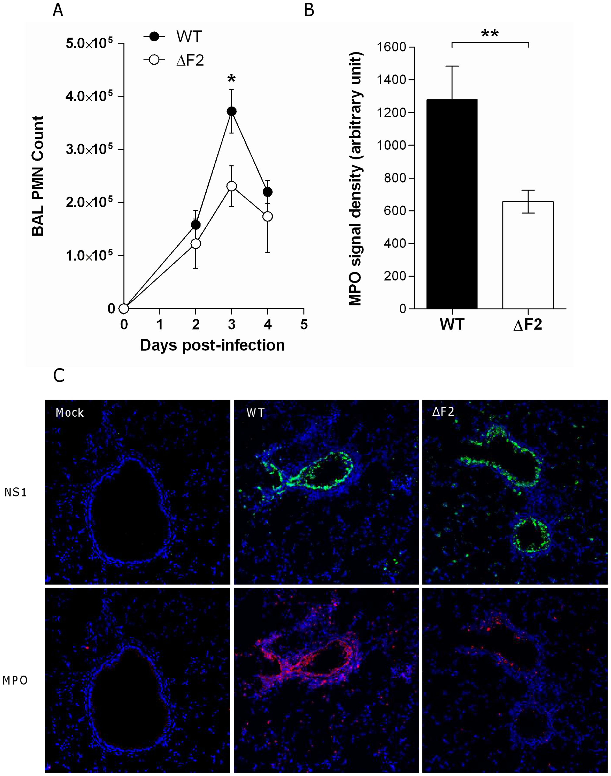 PB1-F2 promotes neutrophil recruitment within IAV-infected mice lungs.