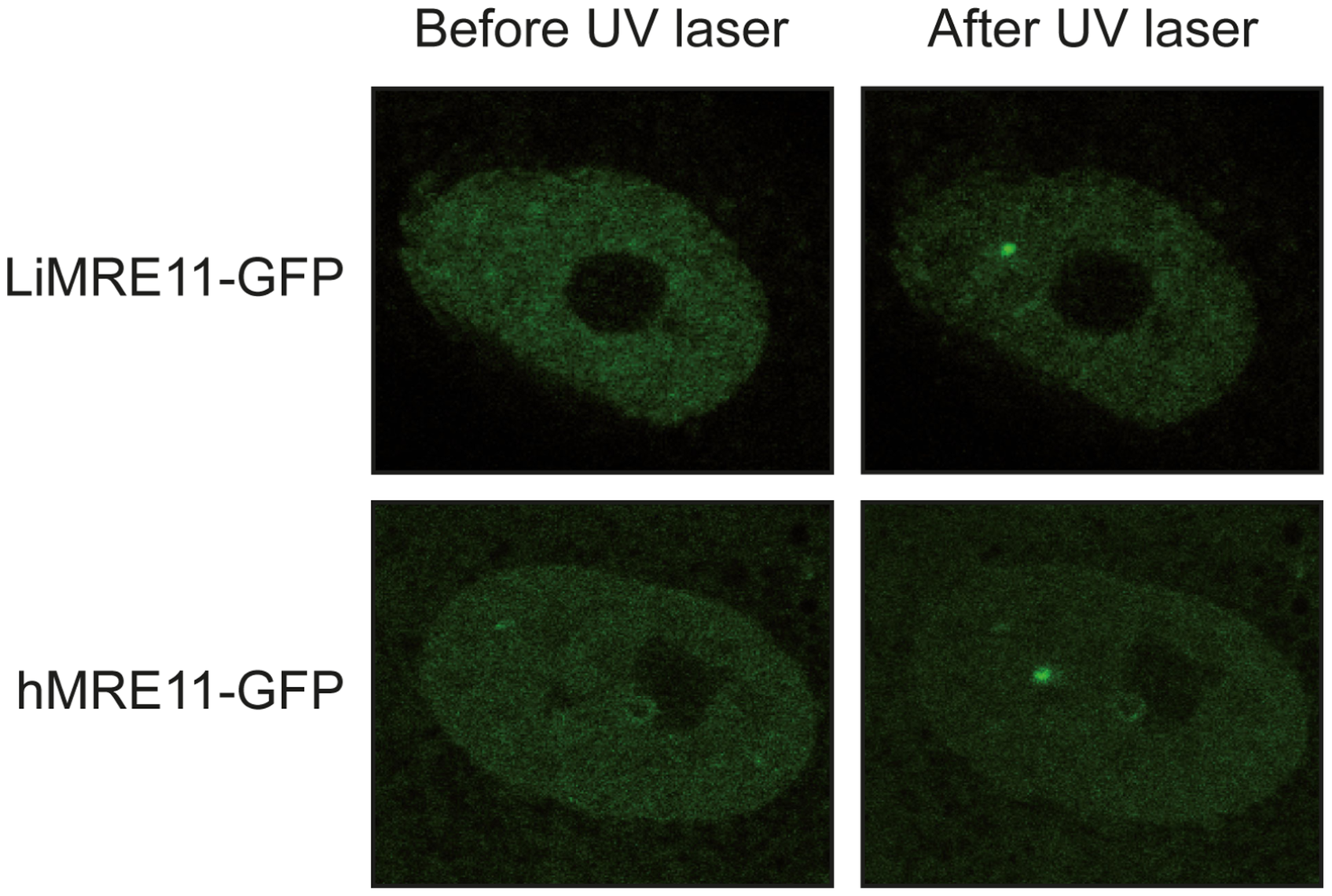 Fluorescence recovery after photobleaching analysis after DNA damage induction in UV-irradiated cells.