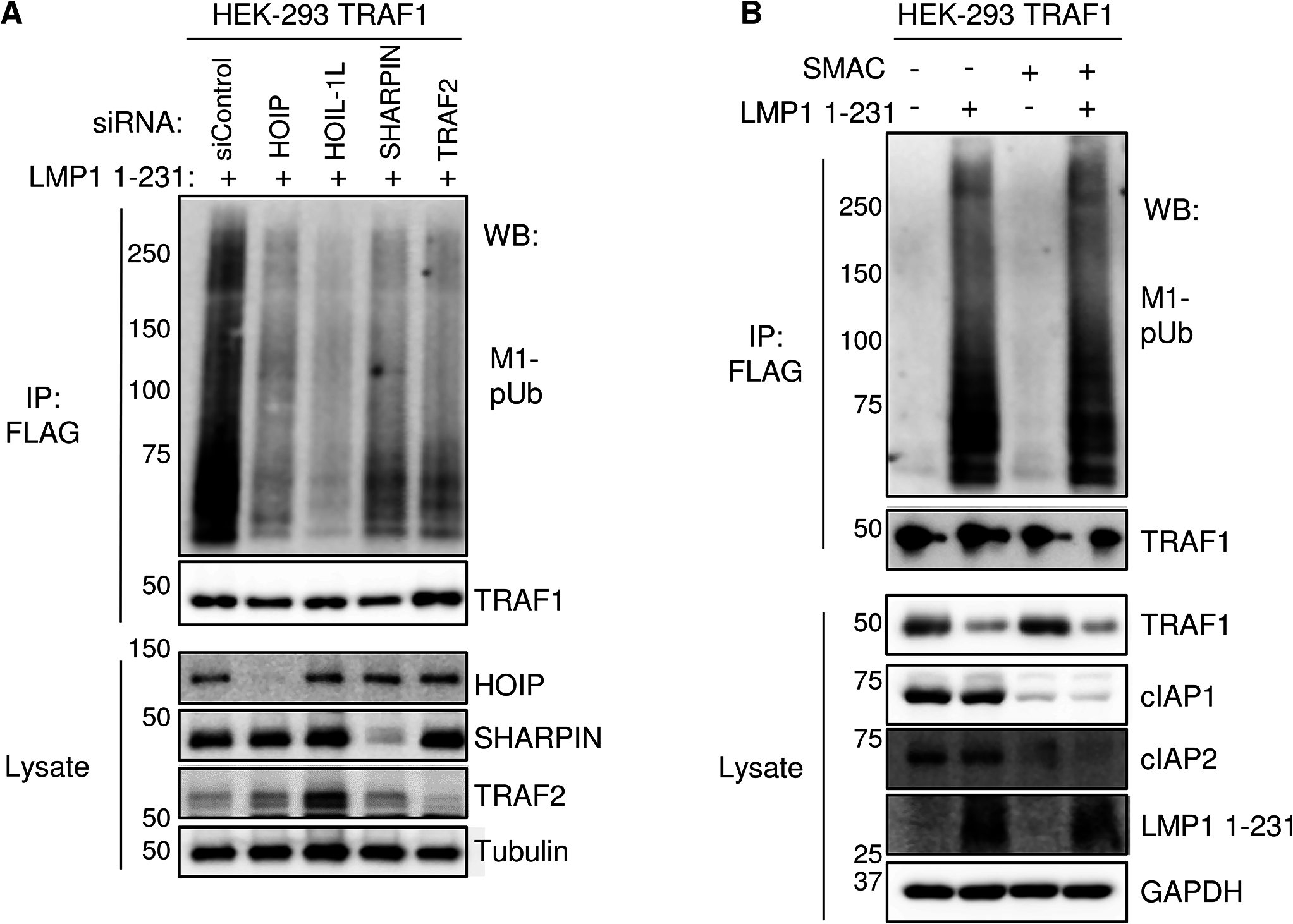 TRAF2, HOIP, HOIL-1L, and SHARPIN, but not cIAP1/2, are important for LMP1 1-231-induced M1-pUb chain attachment to TRAF1 complexes.