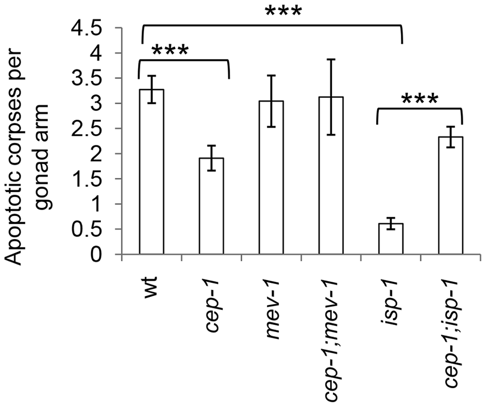 CEP-1 mediates reduced physiological germline apoptosis in the <i>isp-1</i> mutant.