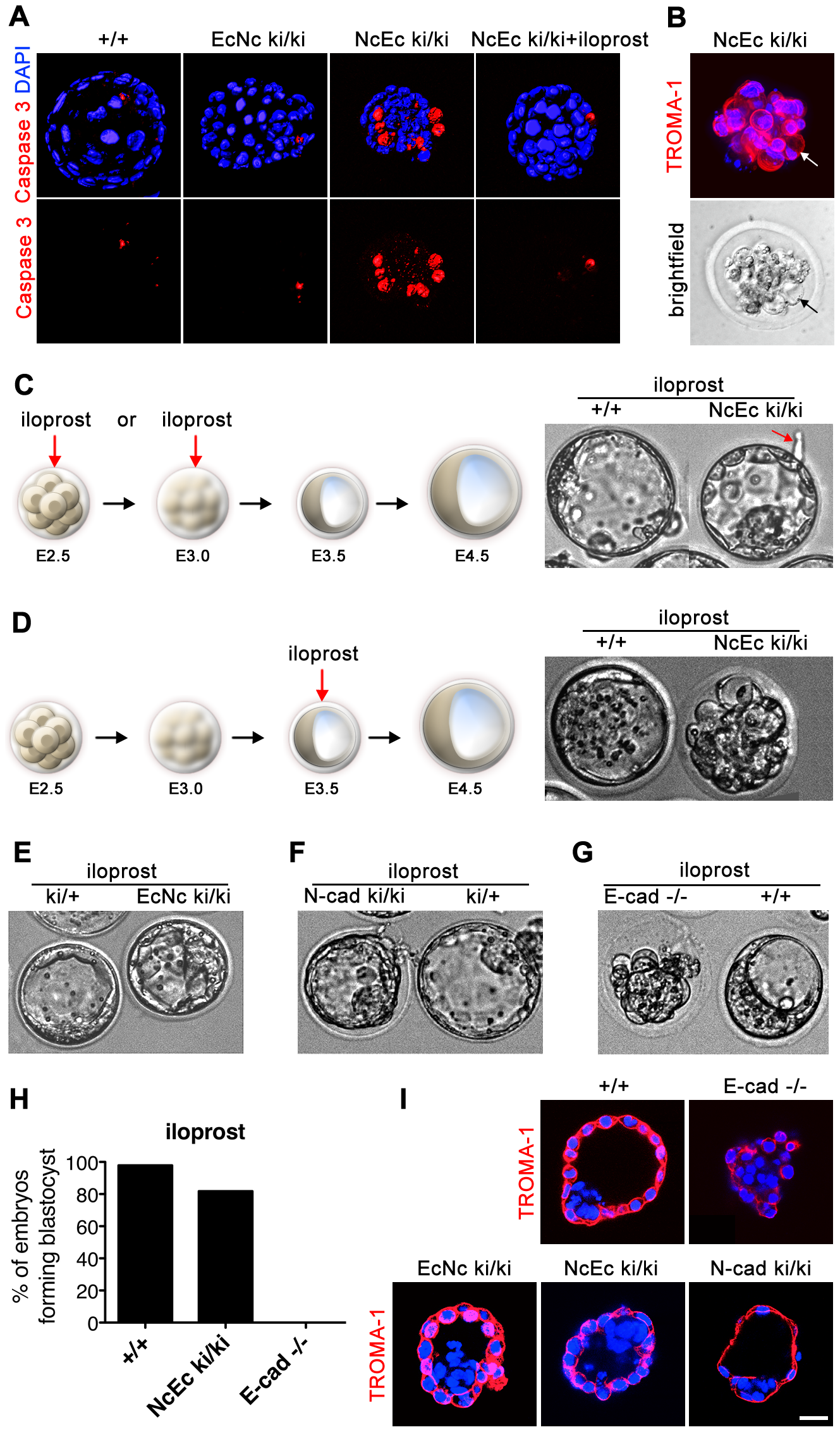 Increased apoptosis is detected in the outer cells of homozygous NcEc embryos and is blocked by iloprost treatment, rescuing blastocyst formation.