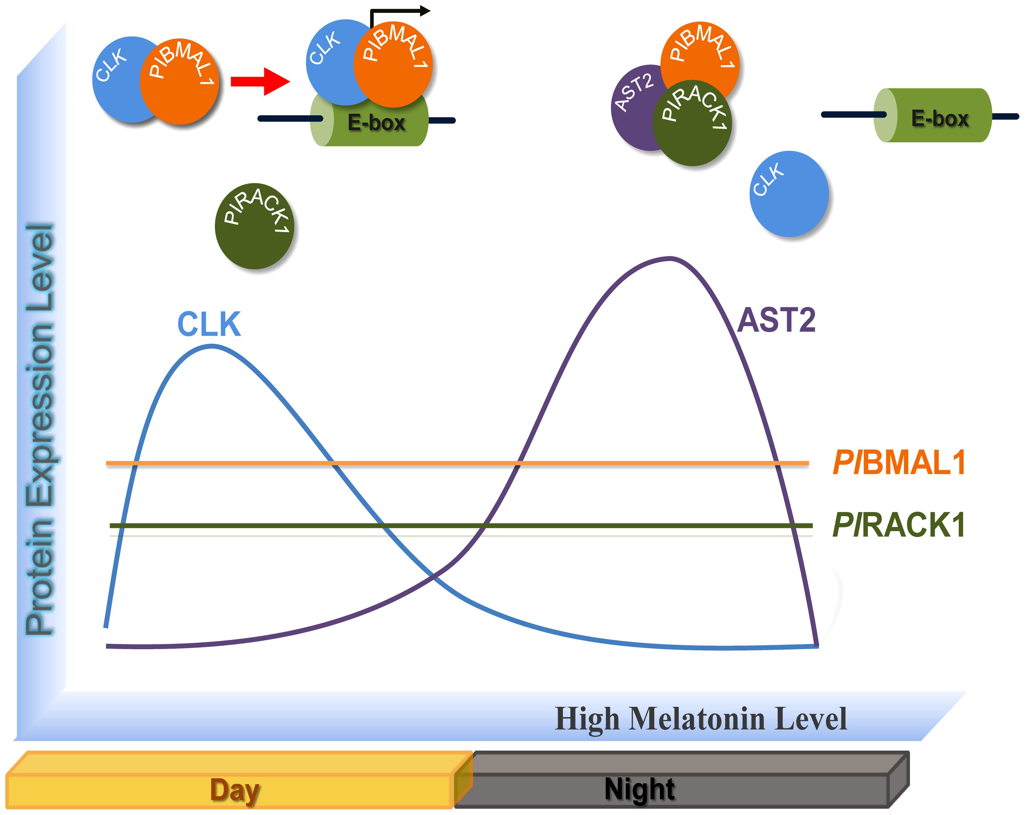 Molecular model of the circadian regulation by CLK, <i>Pl</i>BMAL1, <i>Pl</i>RACK1, and AST2.