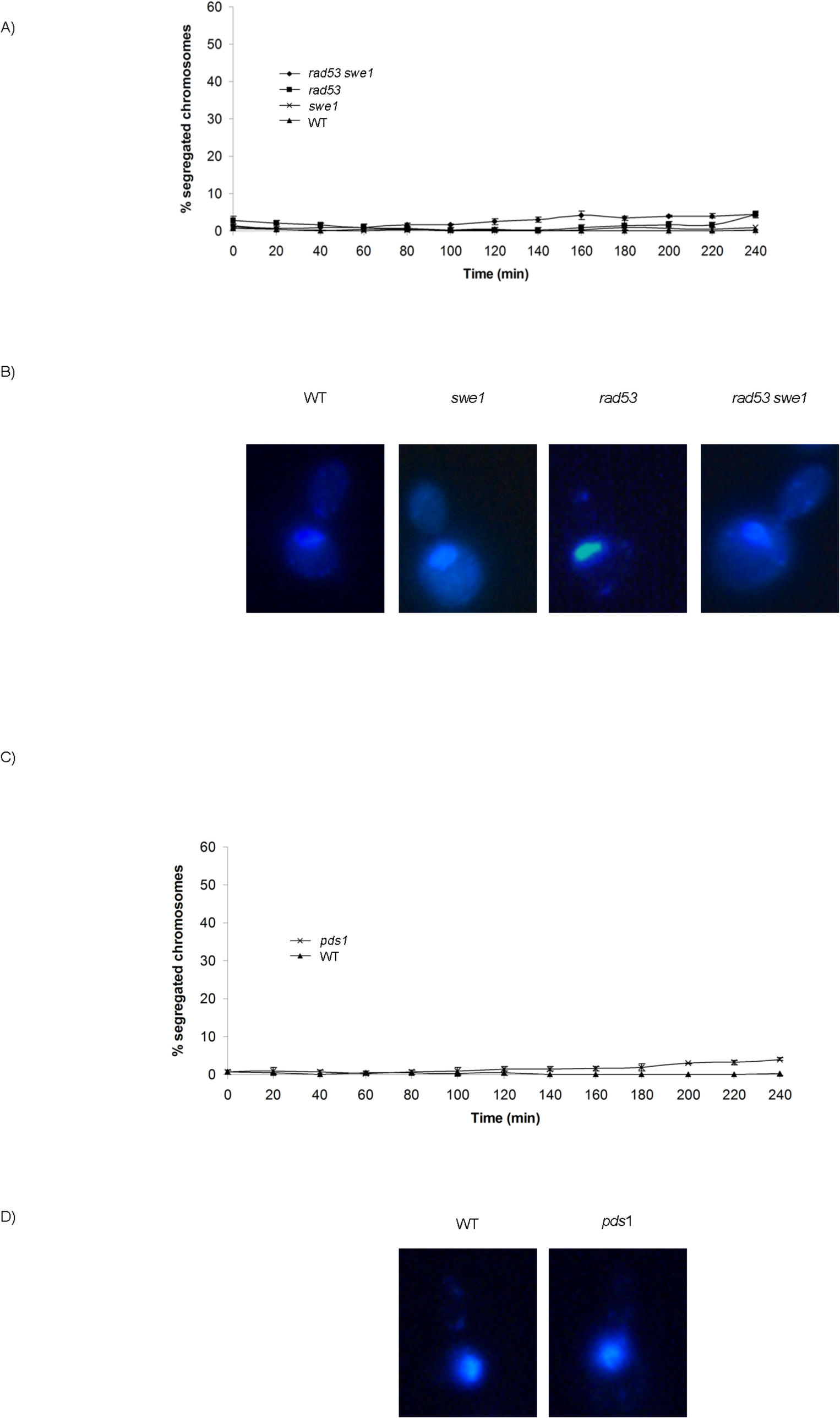 Neither unrestrained M-CDK activity alone nor lack of Pds1/securin alone are enough to abrogate the block of chromosome segregation in the presence of DNA damage.
