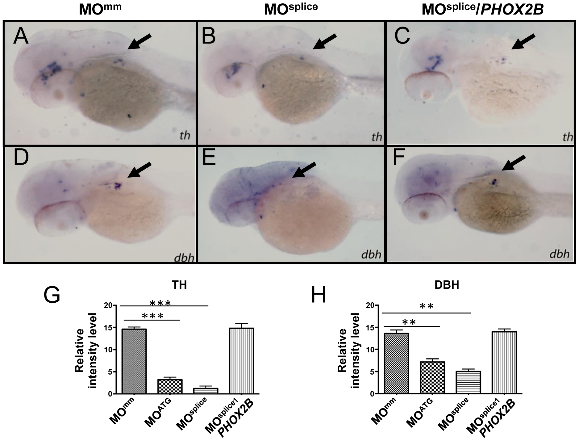 <i>phox2b-</i>deficient embryos show impaired differentiation of sympathetic neurons in the SCG.