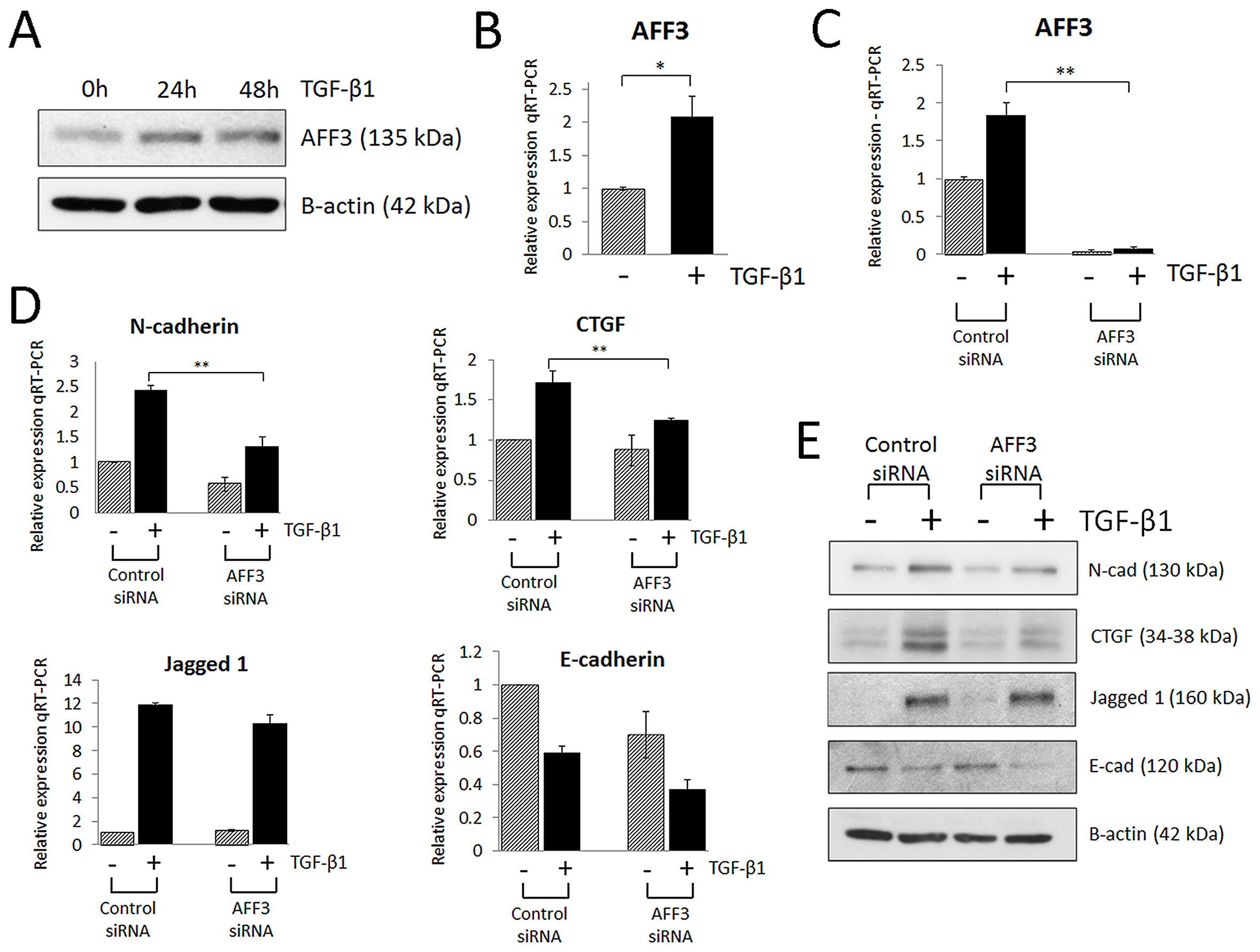 AFF3 is upregulated in renal epithelial cells (HK-2) stimulated with pro-fibrotic TGF-β1.