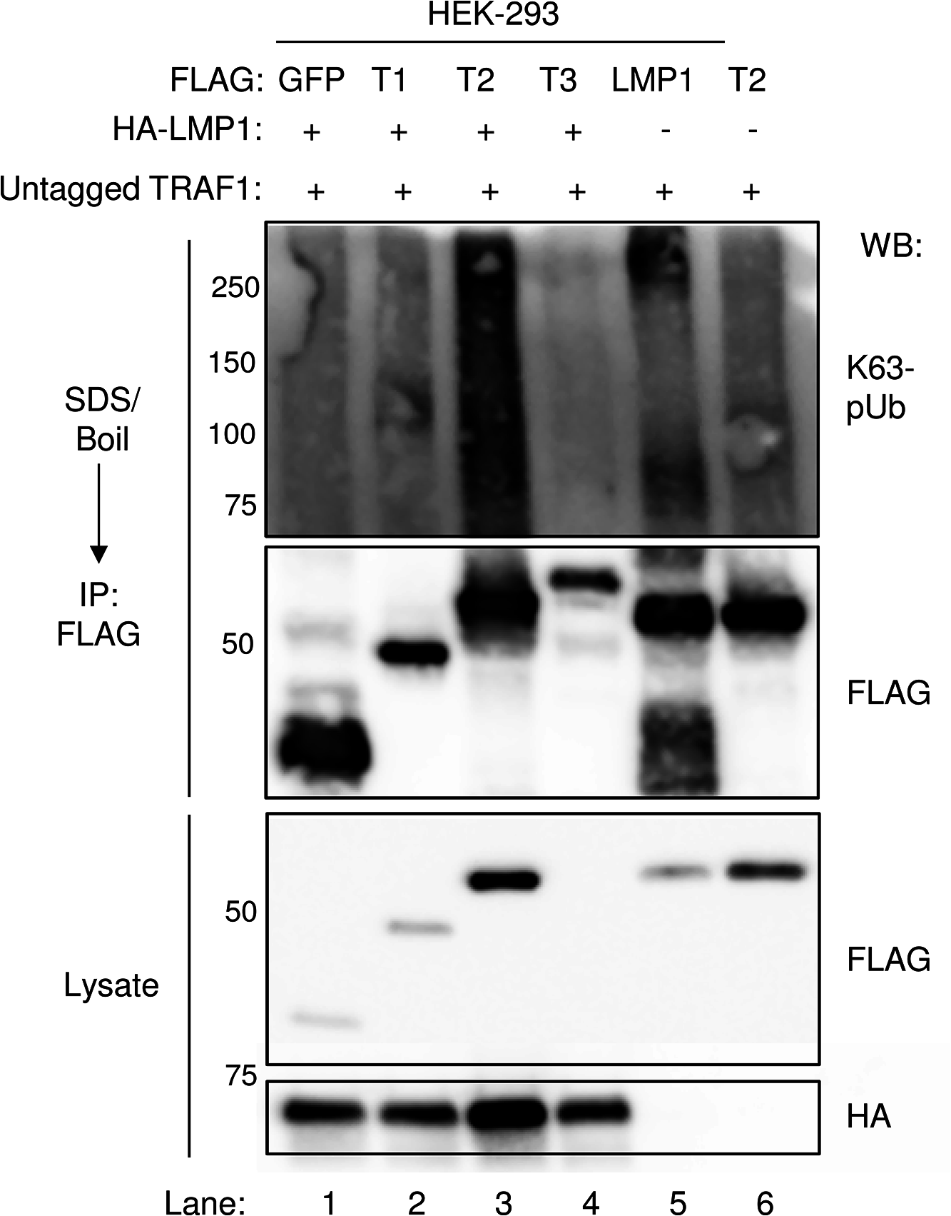 LMP1 1–231 expression induces K63-pUb chain attachment to TRAF2.