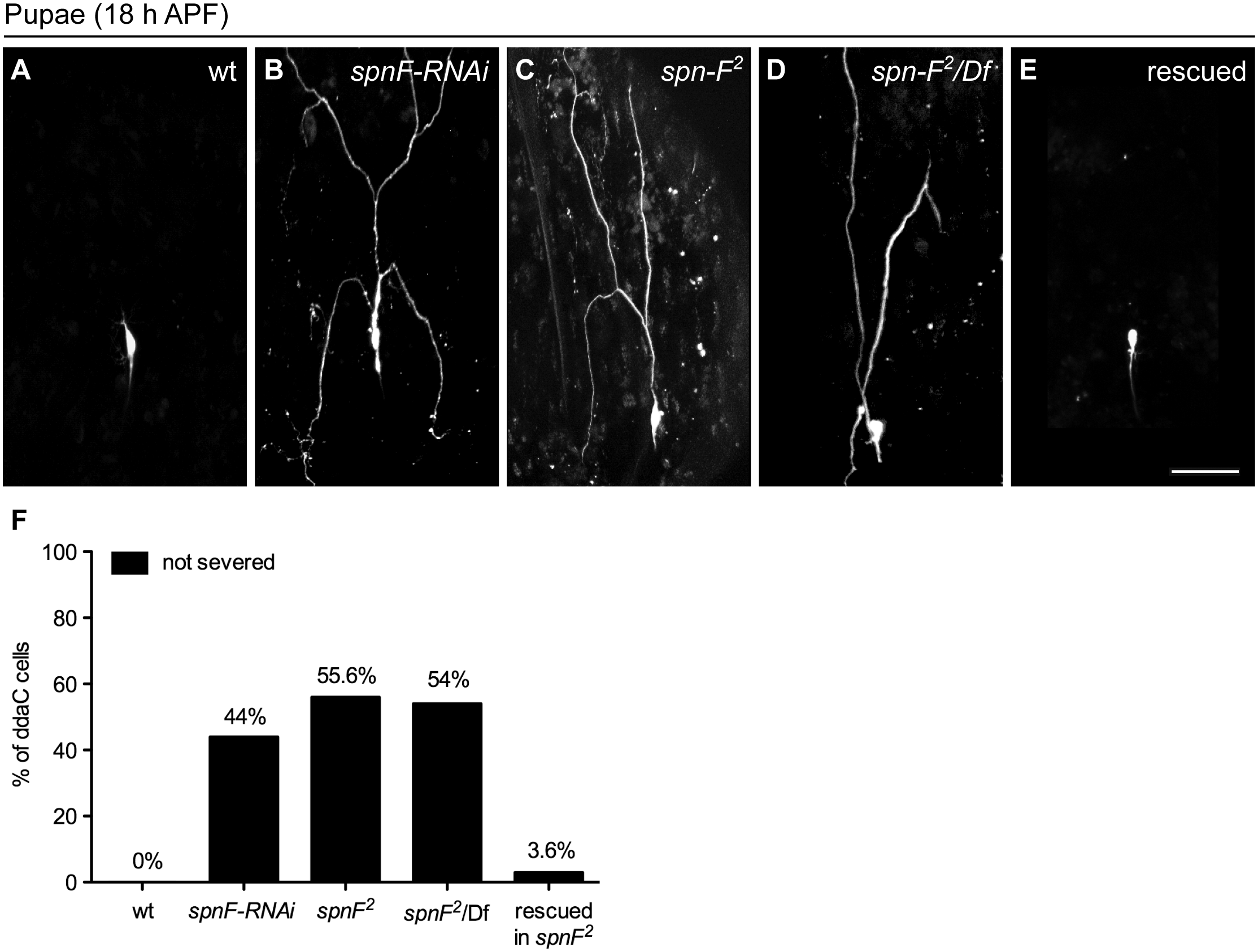 Spn-F is required for dendrite pruning.