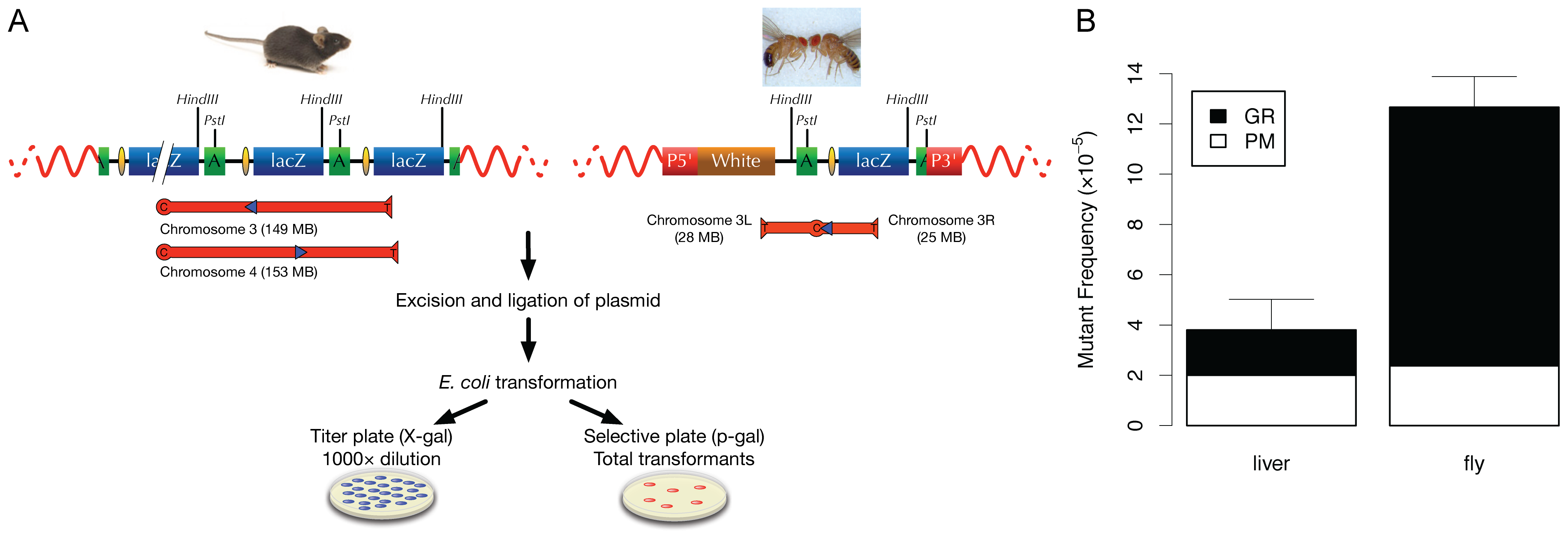 Comparative analysis of somatic mutations in mice and flies.