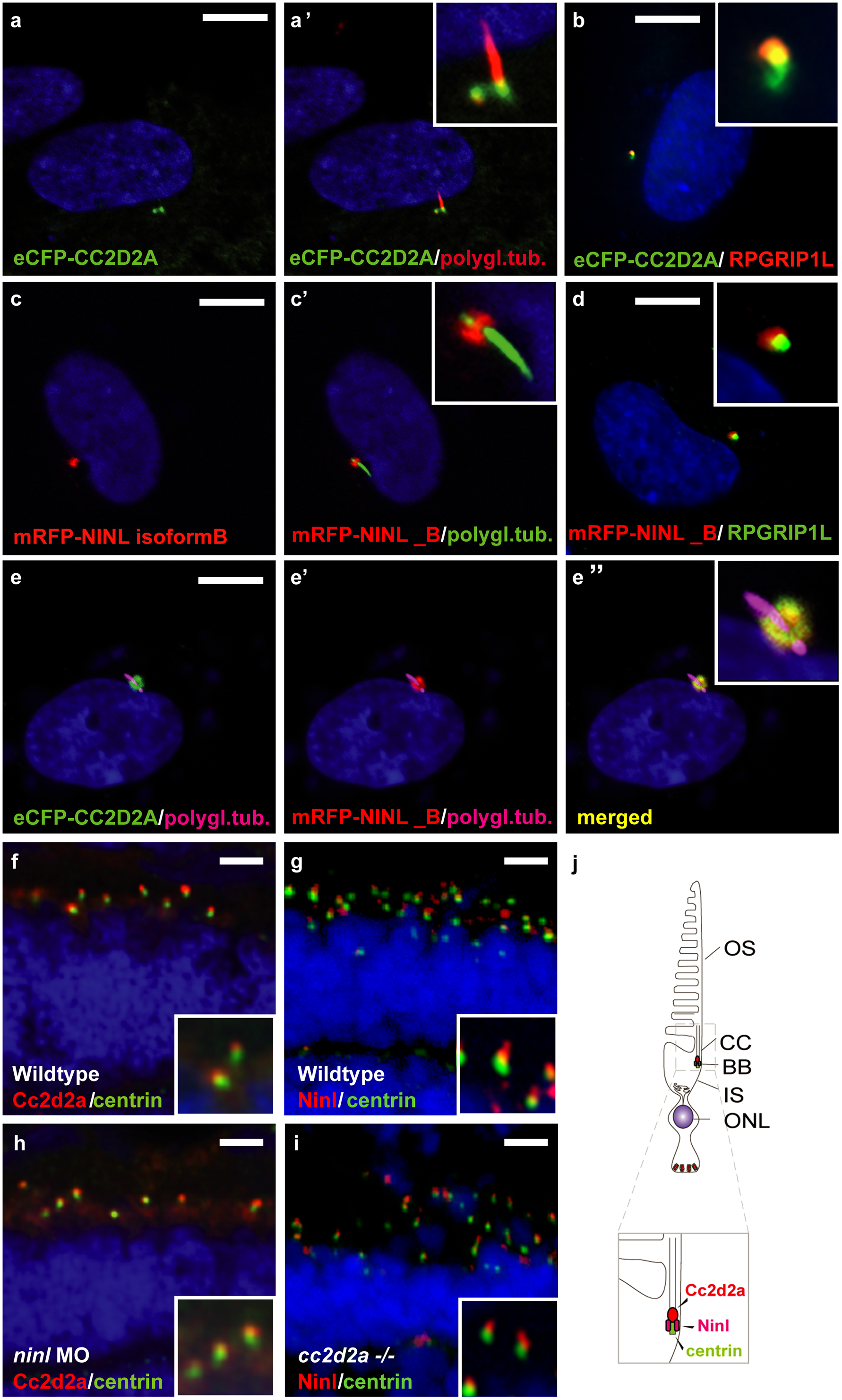 CC2D2A and NINL co-localize at the ciliary base in hTERT-RPE1 cells and in zebrafish retina.