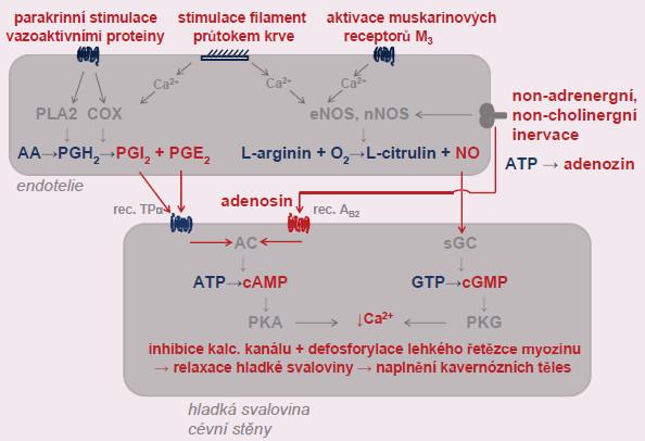 Aktivace vazodilatace arteriol kavernózních těles působením NO, vazodilatačních prostaglandinů a adenozinu. Bližší popis, stejně jako vysvětlivky zkratek, v textu.